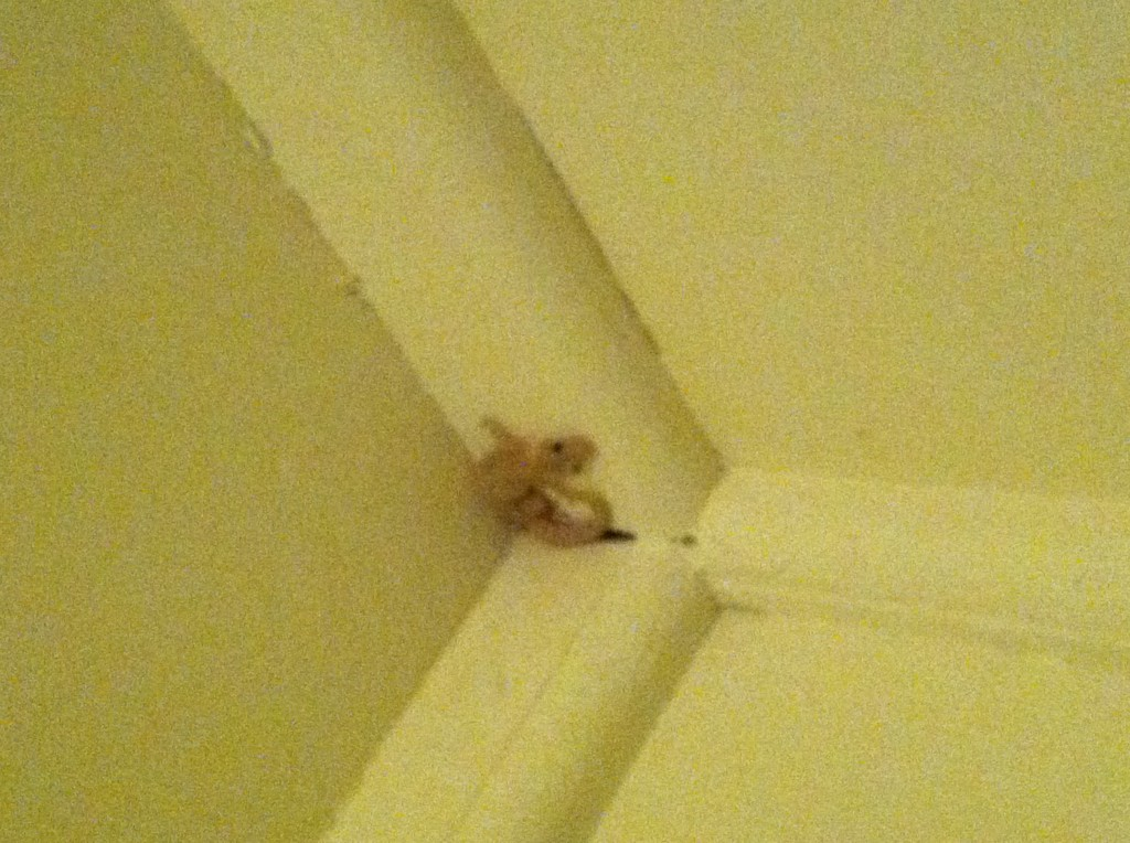 One of the geckos that liked to hang out in our room.