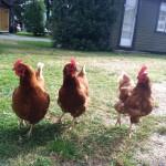 manapouri-chickens