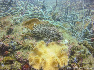 honeycomb-grouper