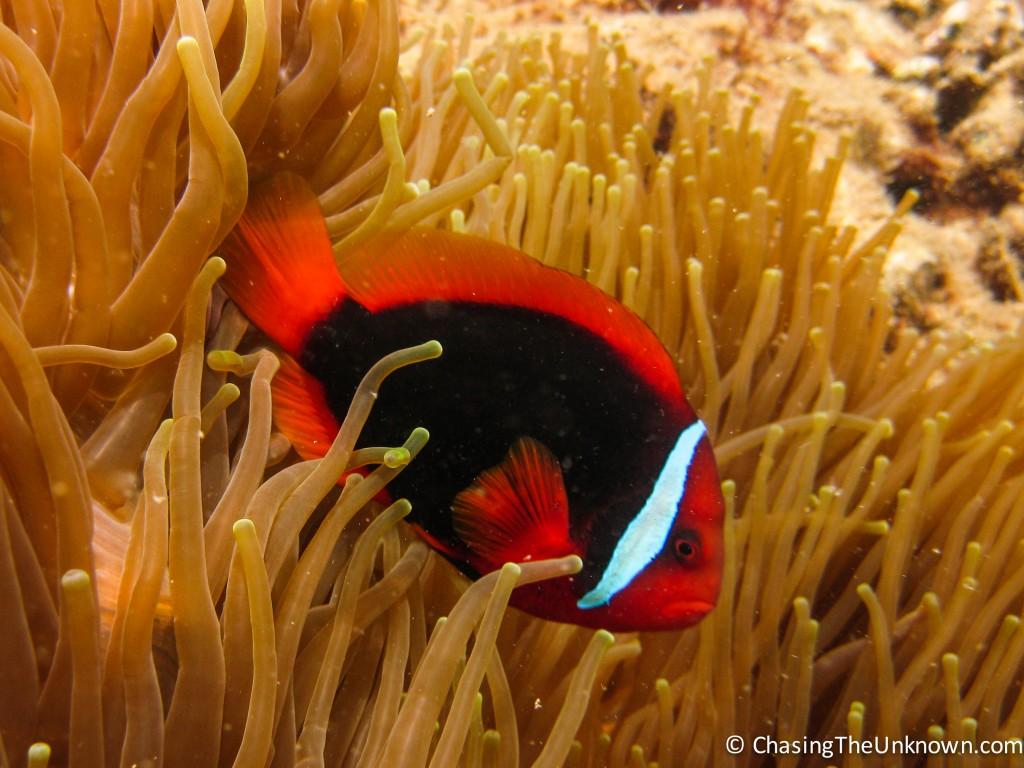 Clownfish1