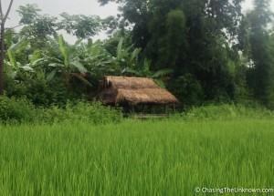 Pin-Tauk-rice-field