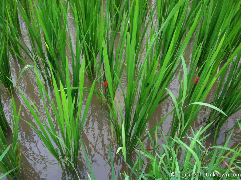 The pink sacs on the rice plants are snail eggs. Snails can devastate rice fields if not kept in check.