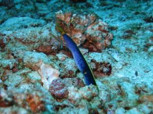 Female ribbon eel at Elephant Head Rock, Similan Island #8. - Photo courtesy of Bo.
