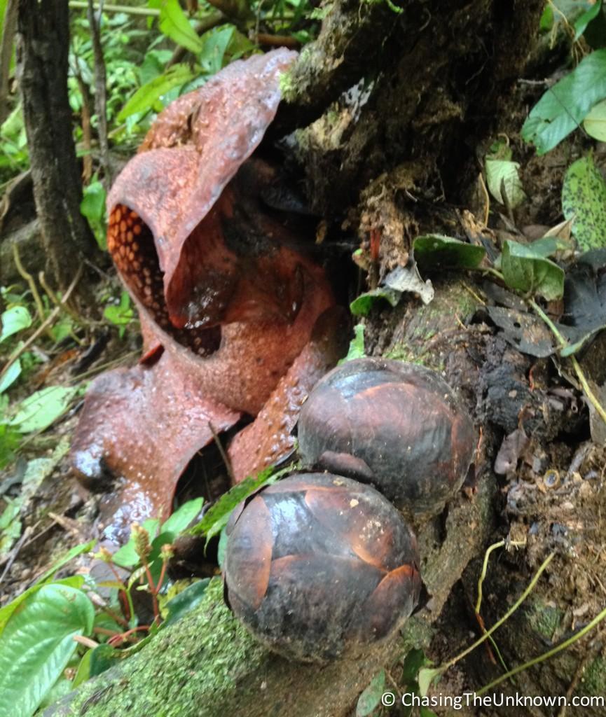 Rafflesia-buds