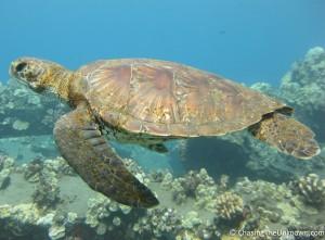 turtle-mala-pier-maui