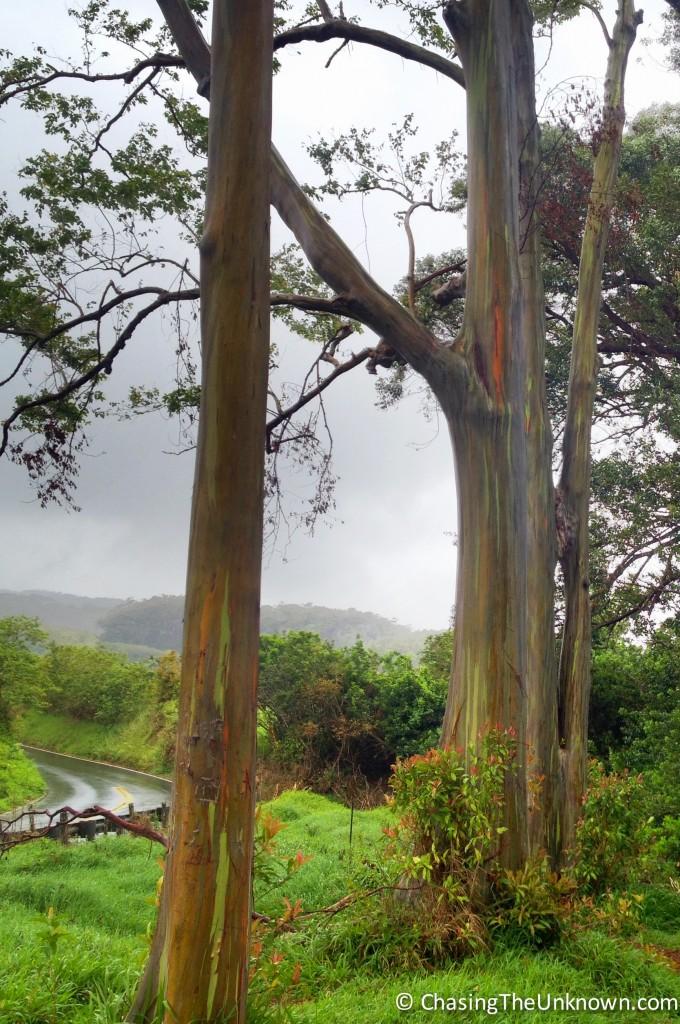 rainbow-eucalyptus