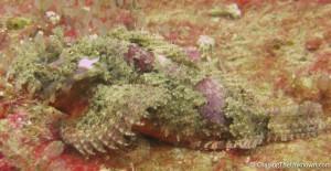 Am I the only one who thinks scorpionfish are beautiful? Akitsushima, Coron
