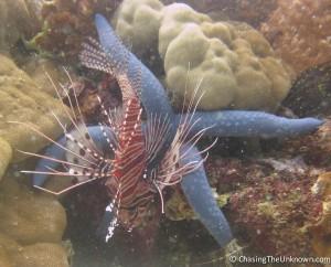 Seastar and a lionfish, Balicasag/Panglao