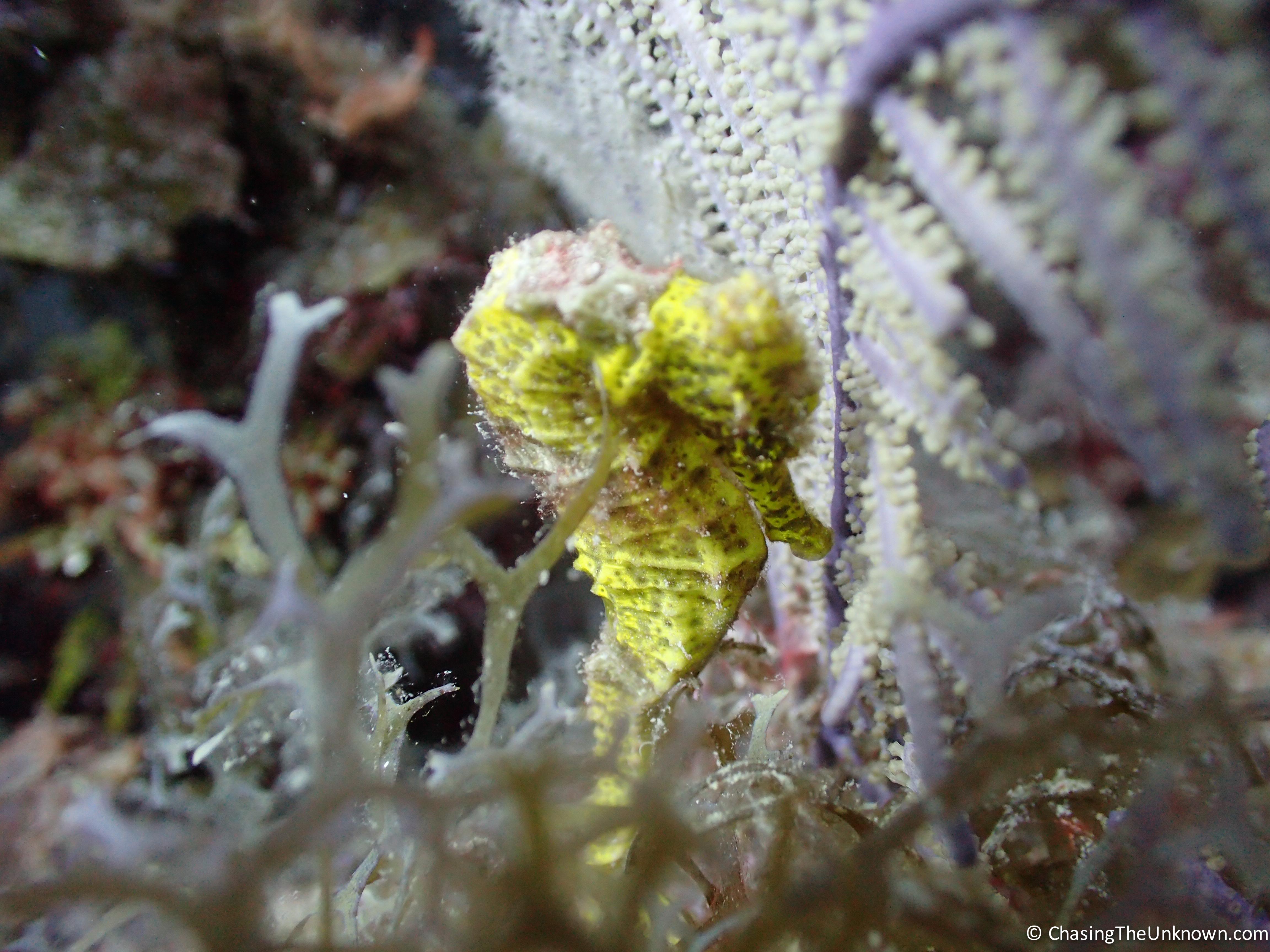 longsnout-seahorse-near-rons-hole-utila