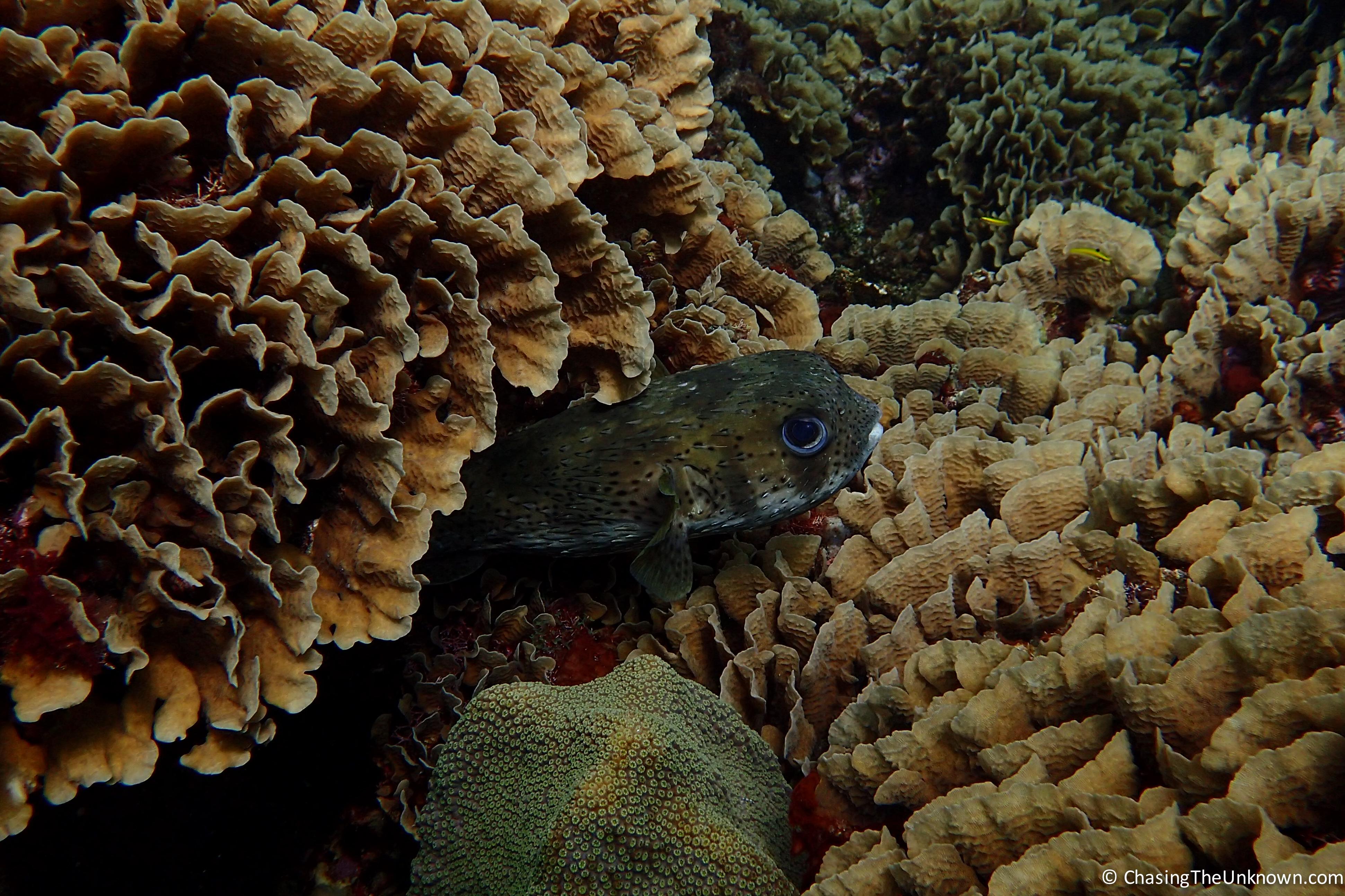 porcupine-fish-utila