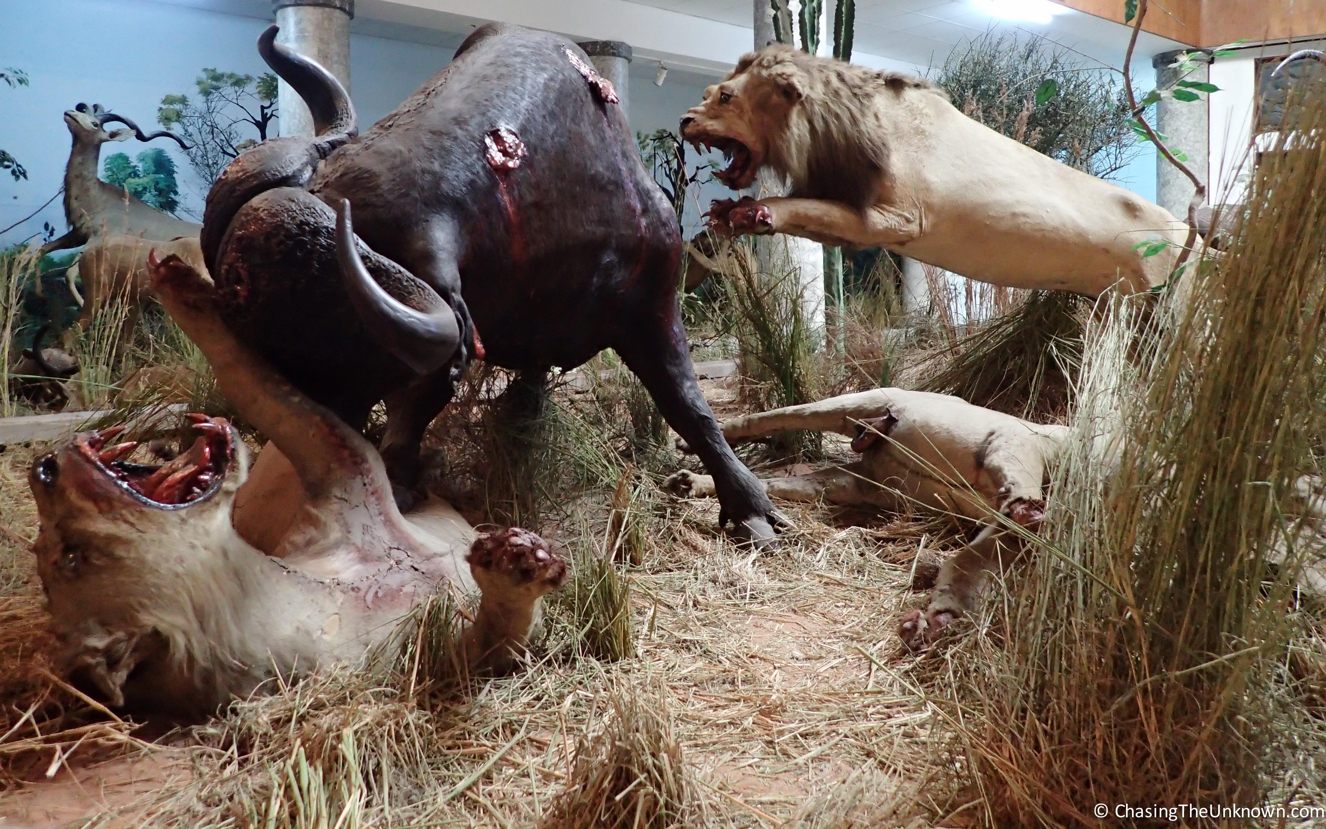 lions-buffalo-museum-maputo