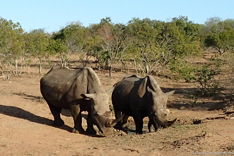 2-white-rhinos-mkhaya
