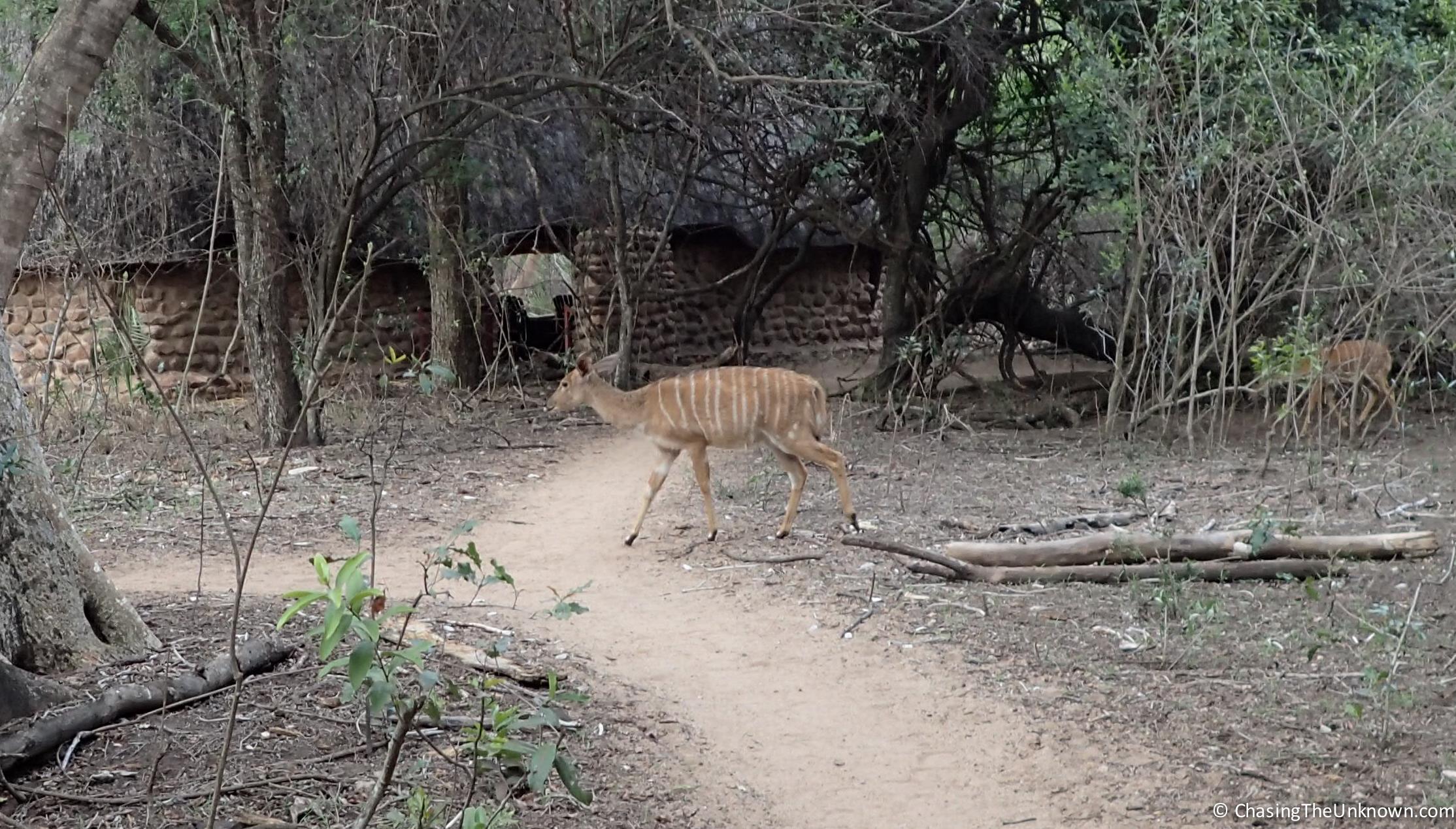 bushbuck-mhkaya