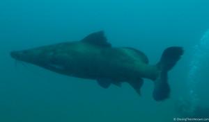 catfish-lake-malawi