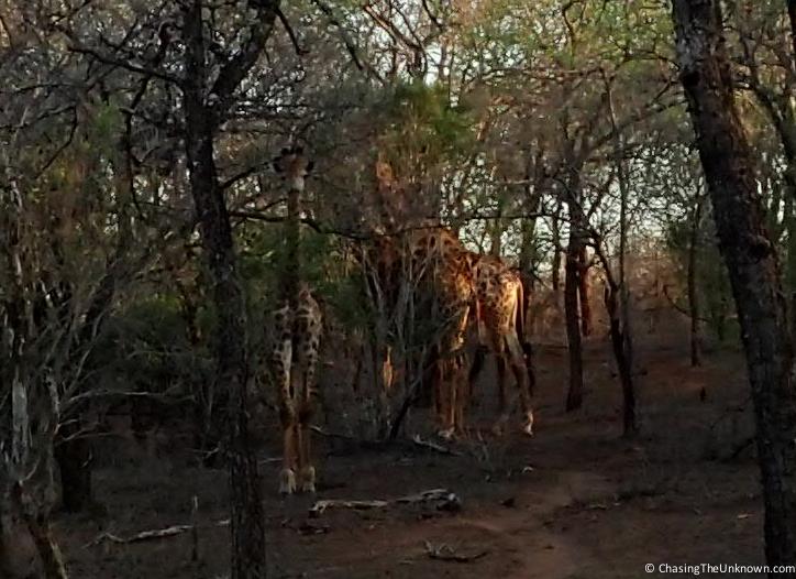 giraffes-mkhaya