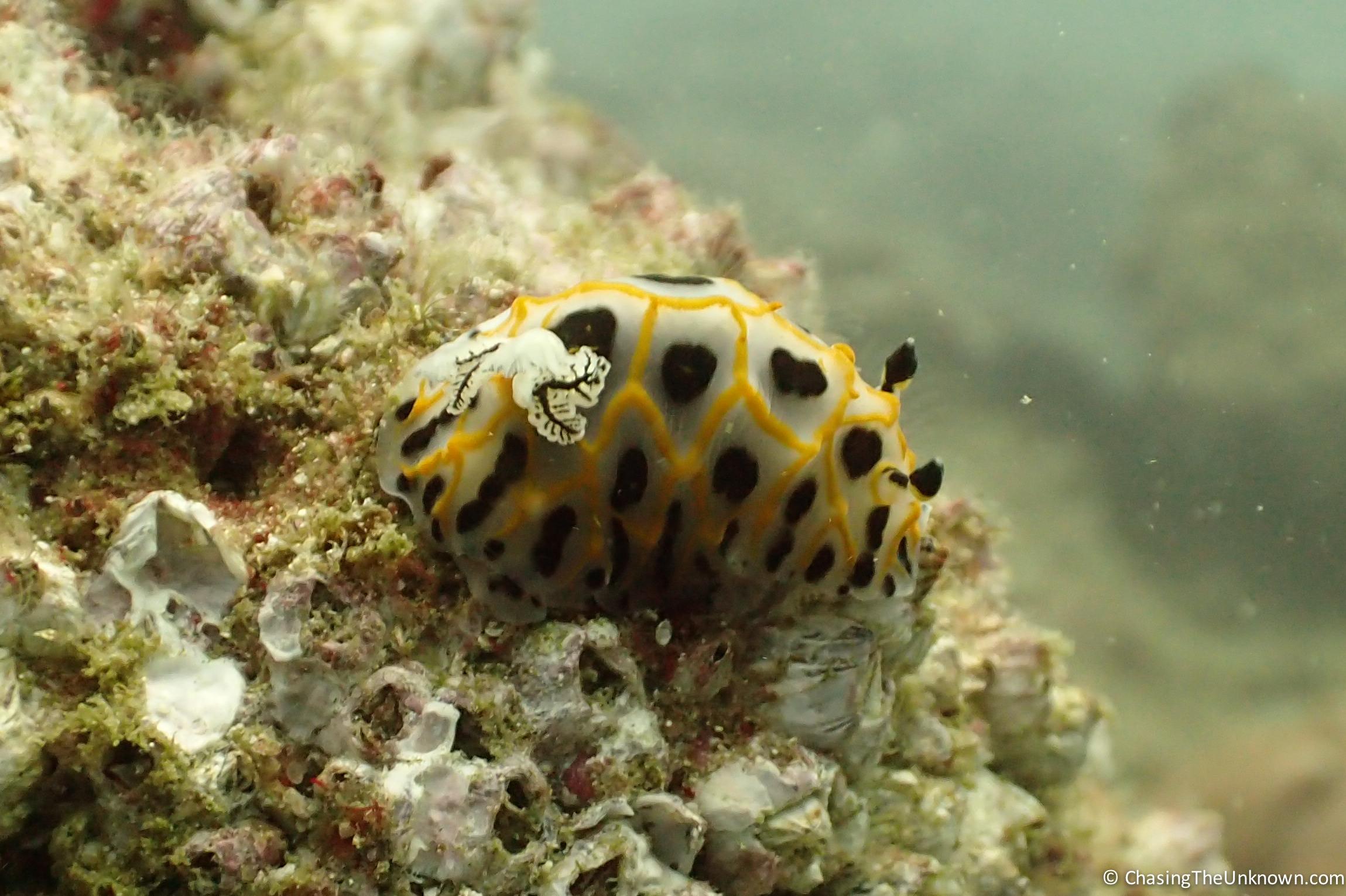 halgurda-nudibranch-Tofo