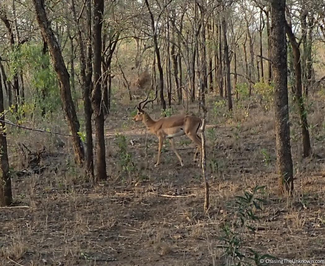 impala-makhaya