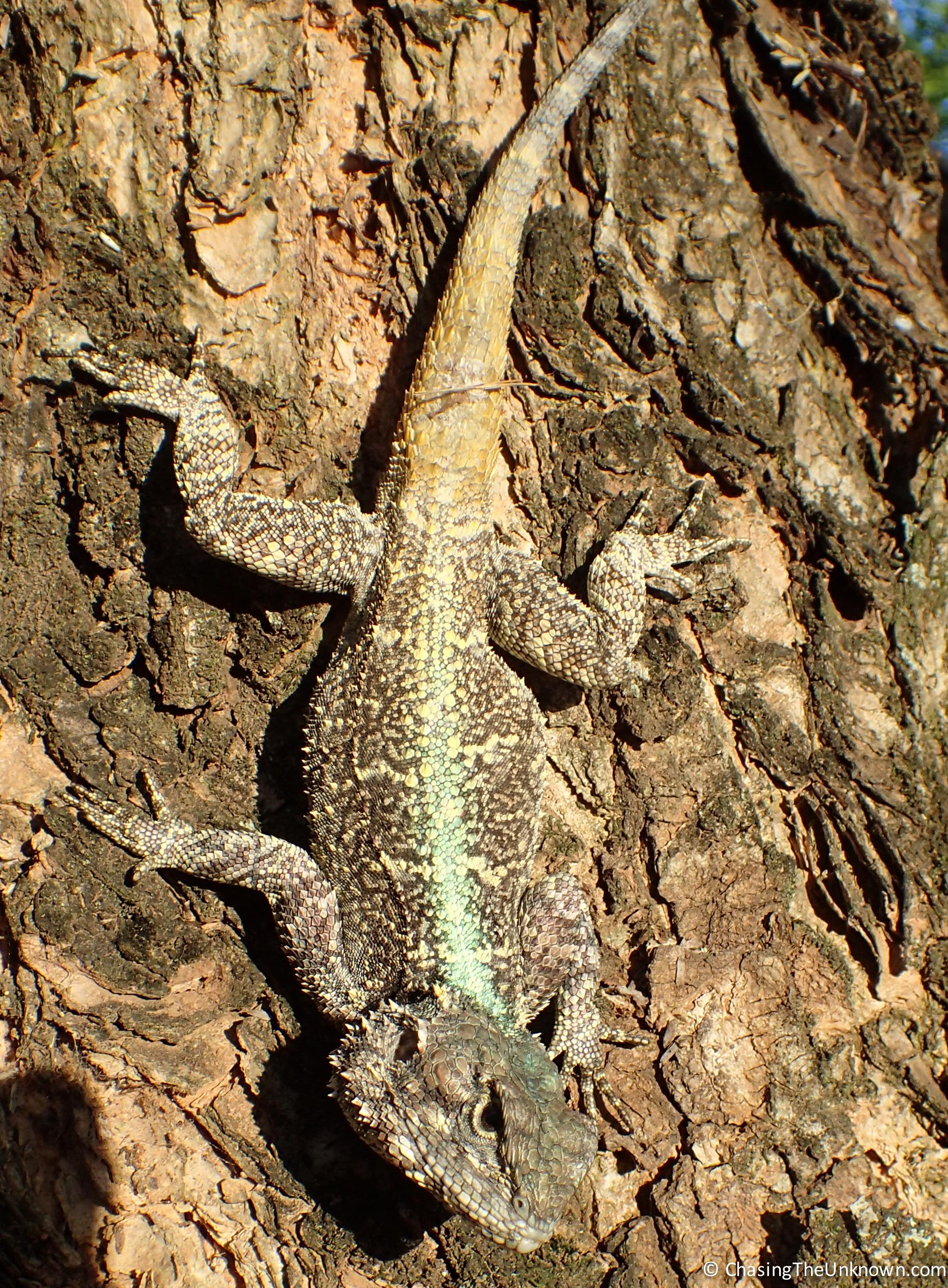 lizard-mlilwane