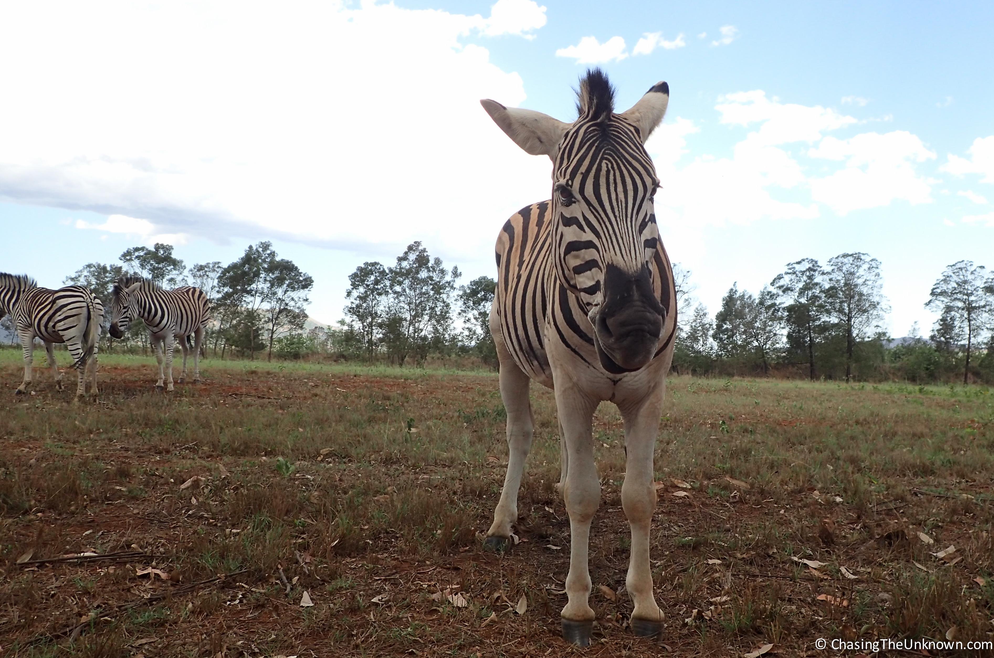 mlilwane-zebra