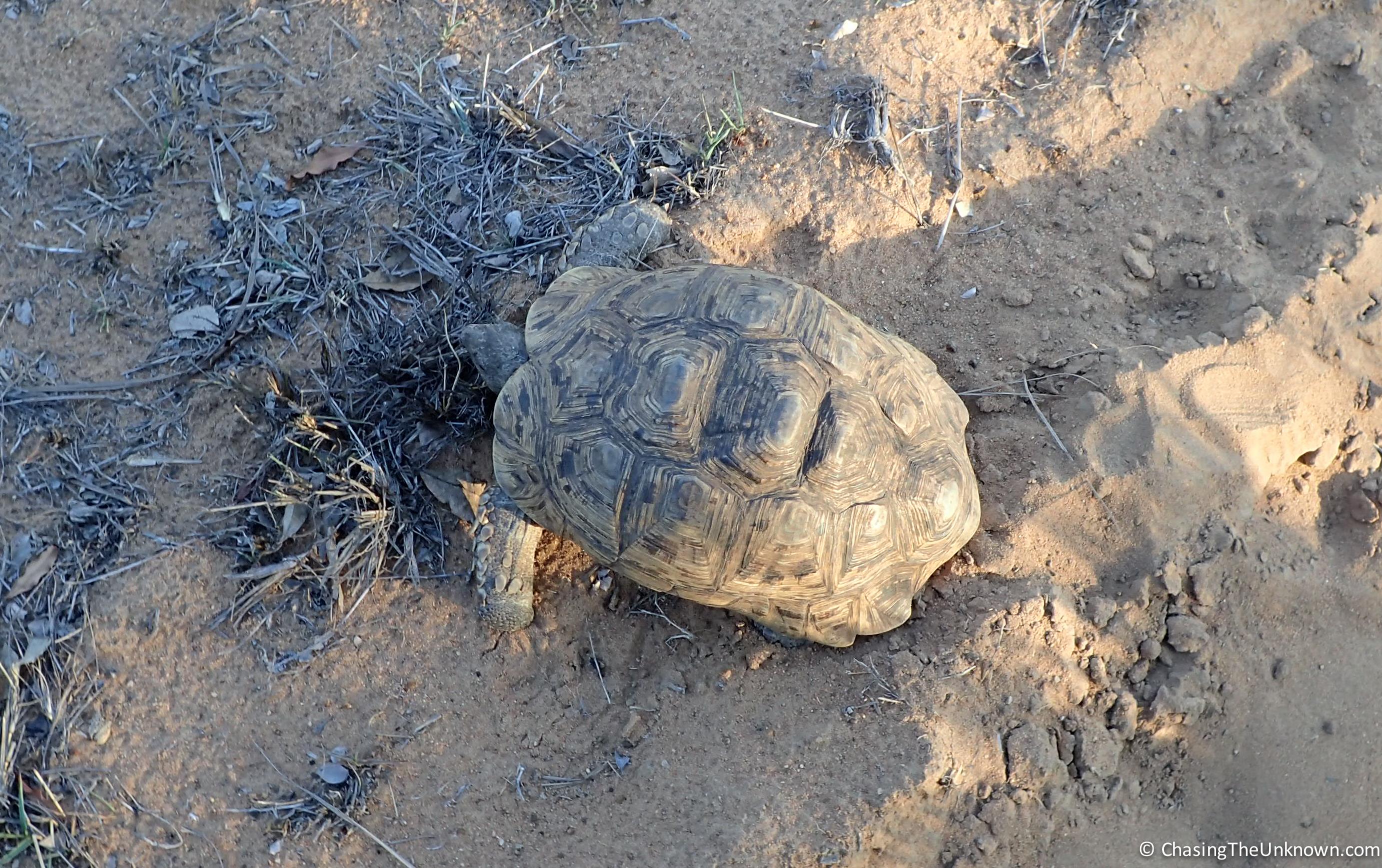 leopard-tortoise-mkhaya