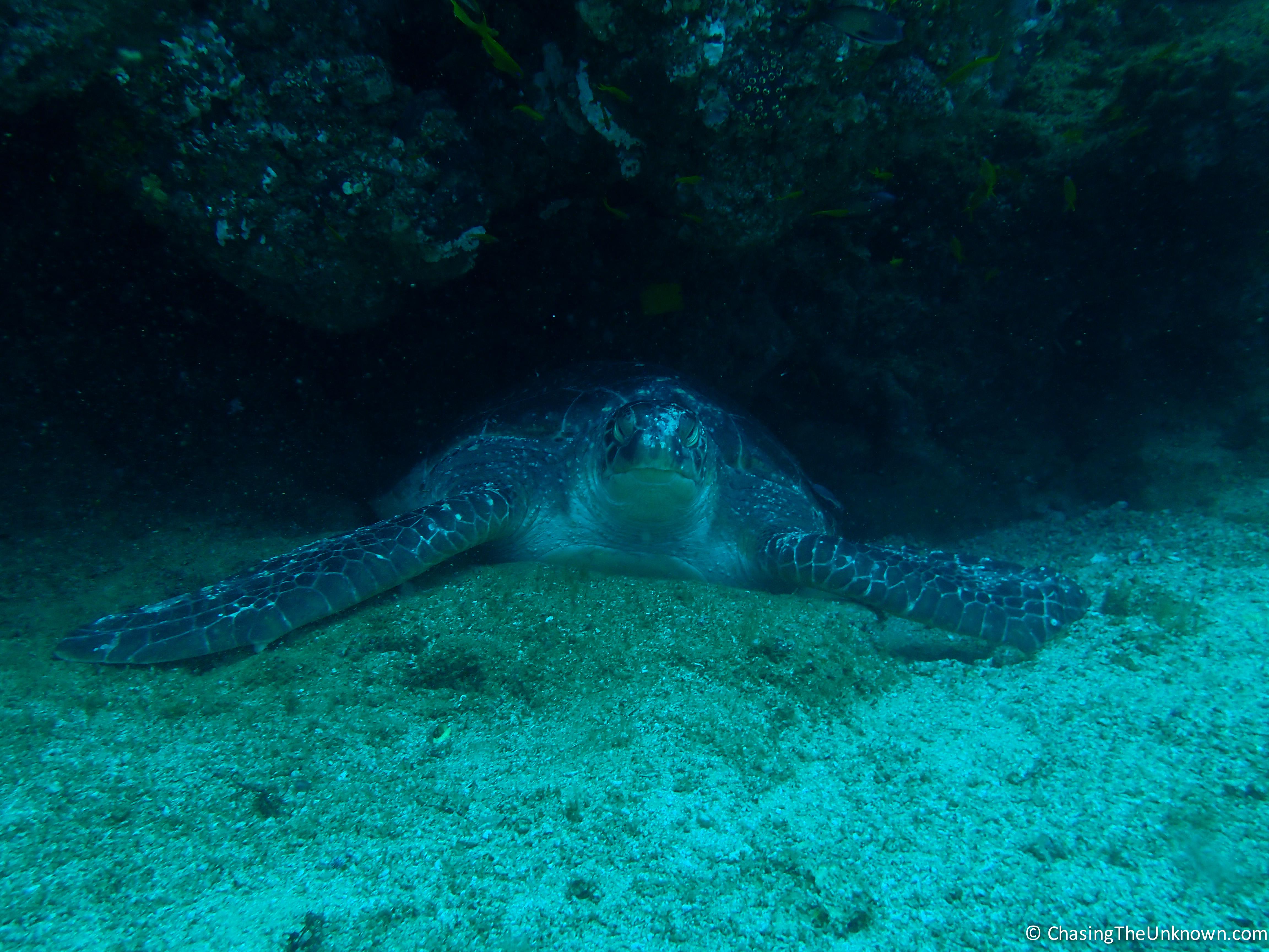 turtle-tofo