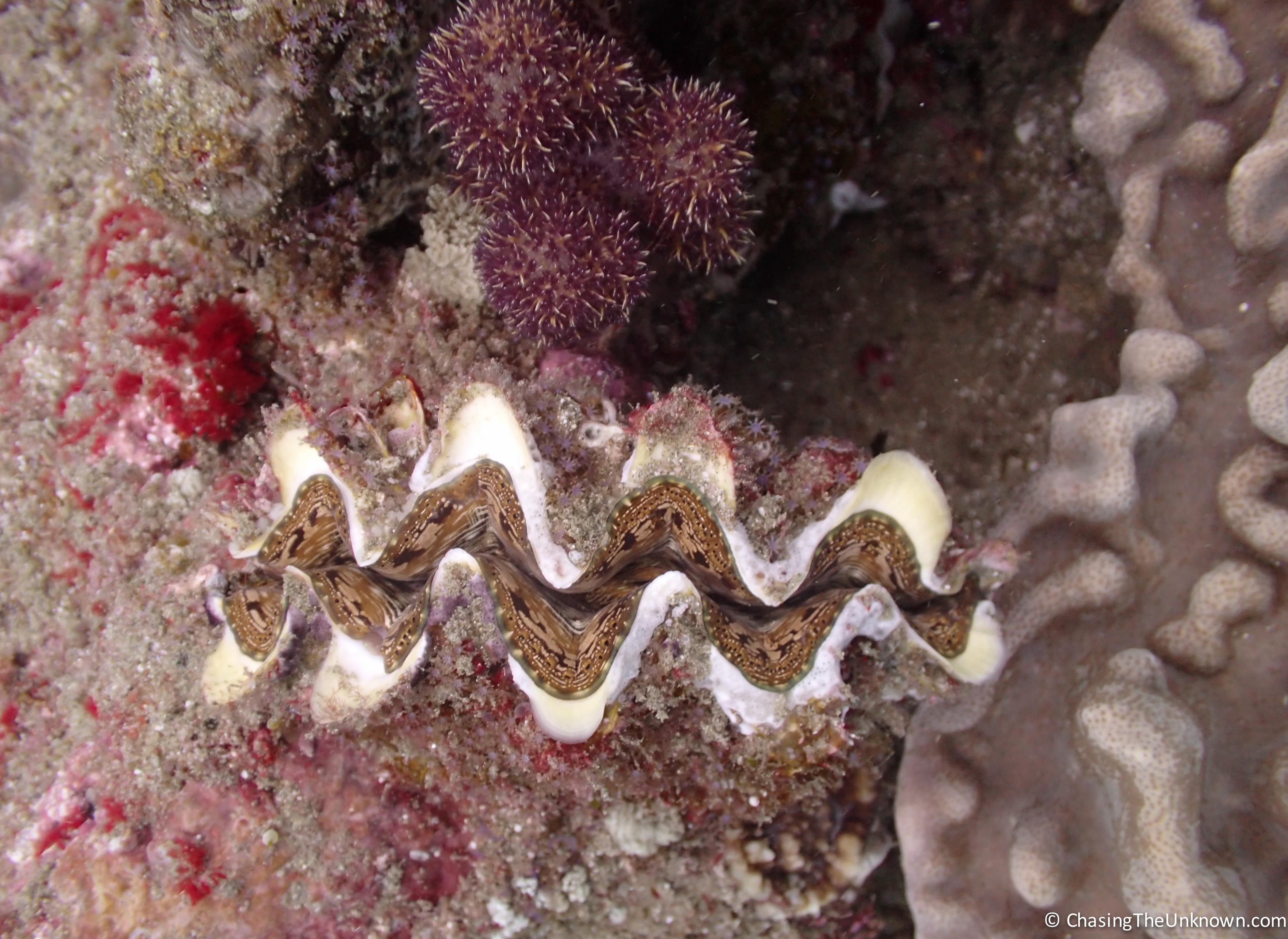 clam-Sodwana
