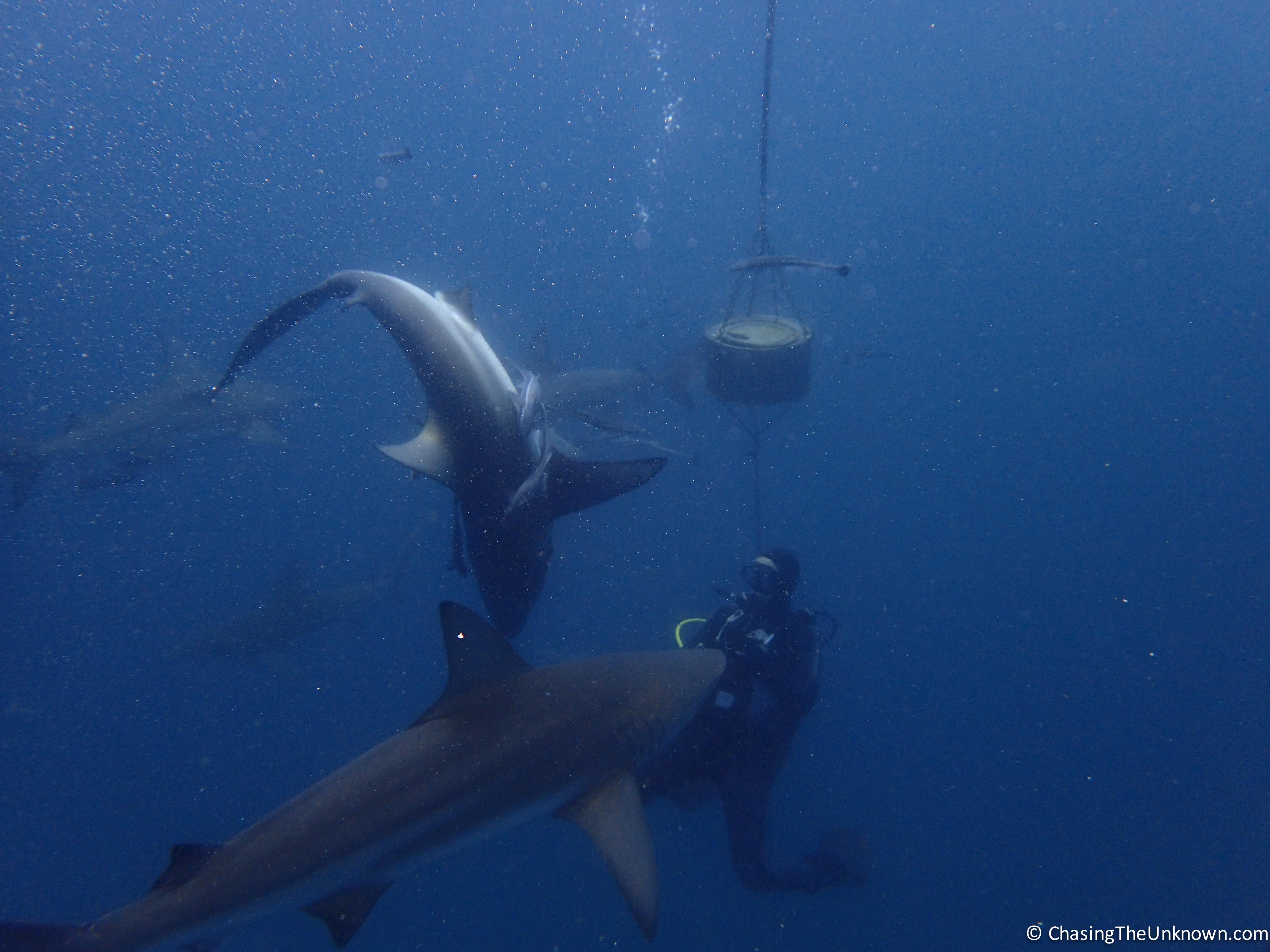 shark-dive-aliwal