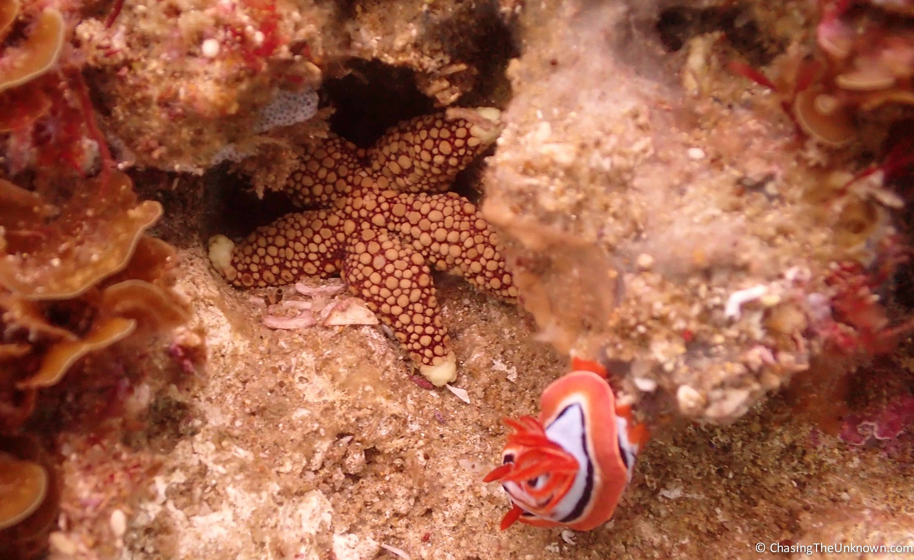 seastar-nudibranch-Aliwal