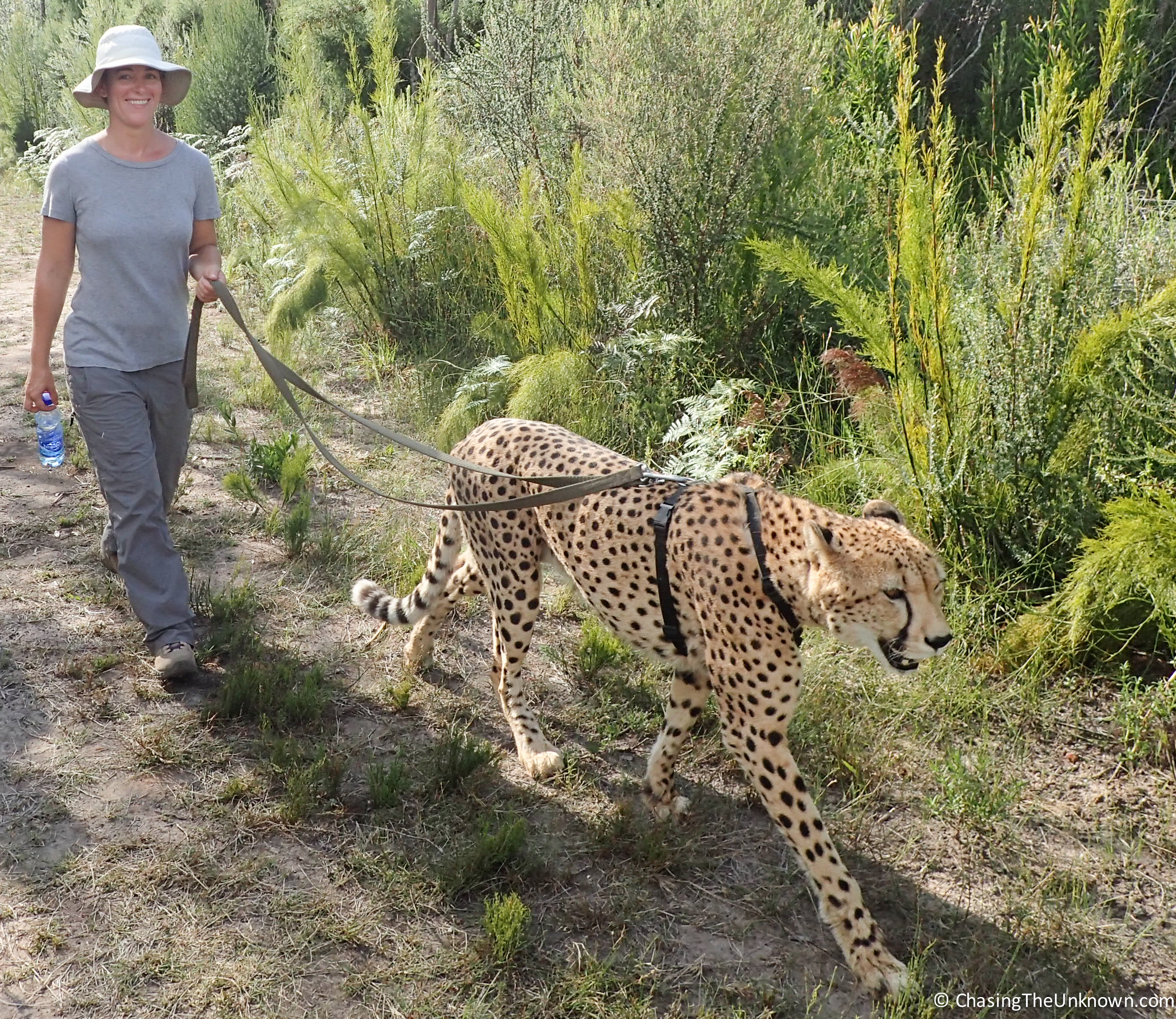 chester-cheetah
