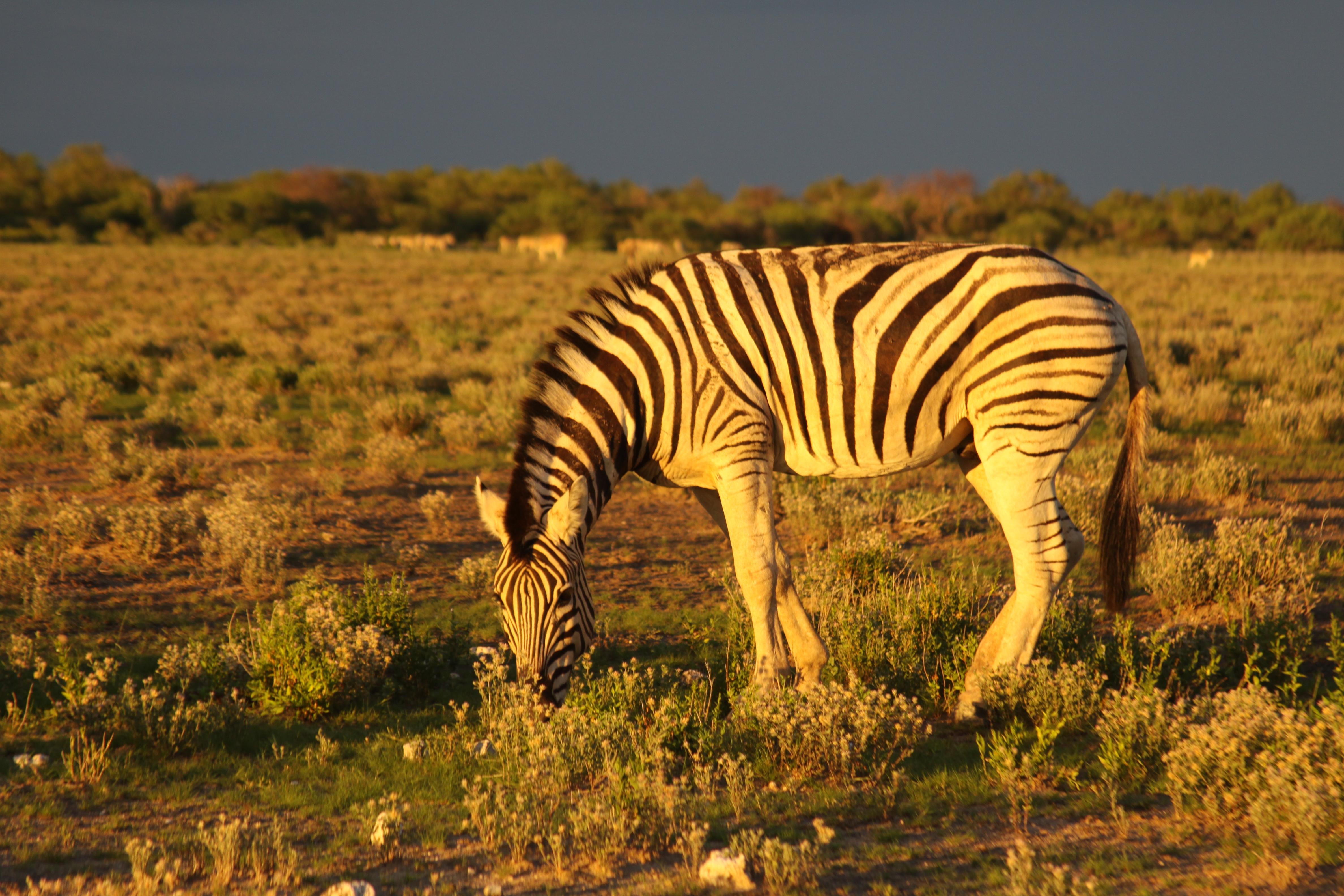 zebra-etosha
