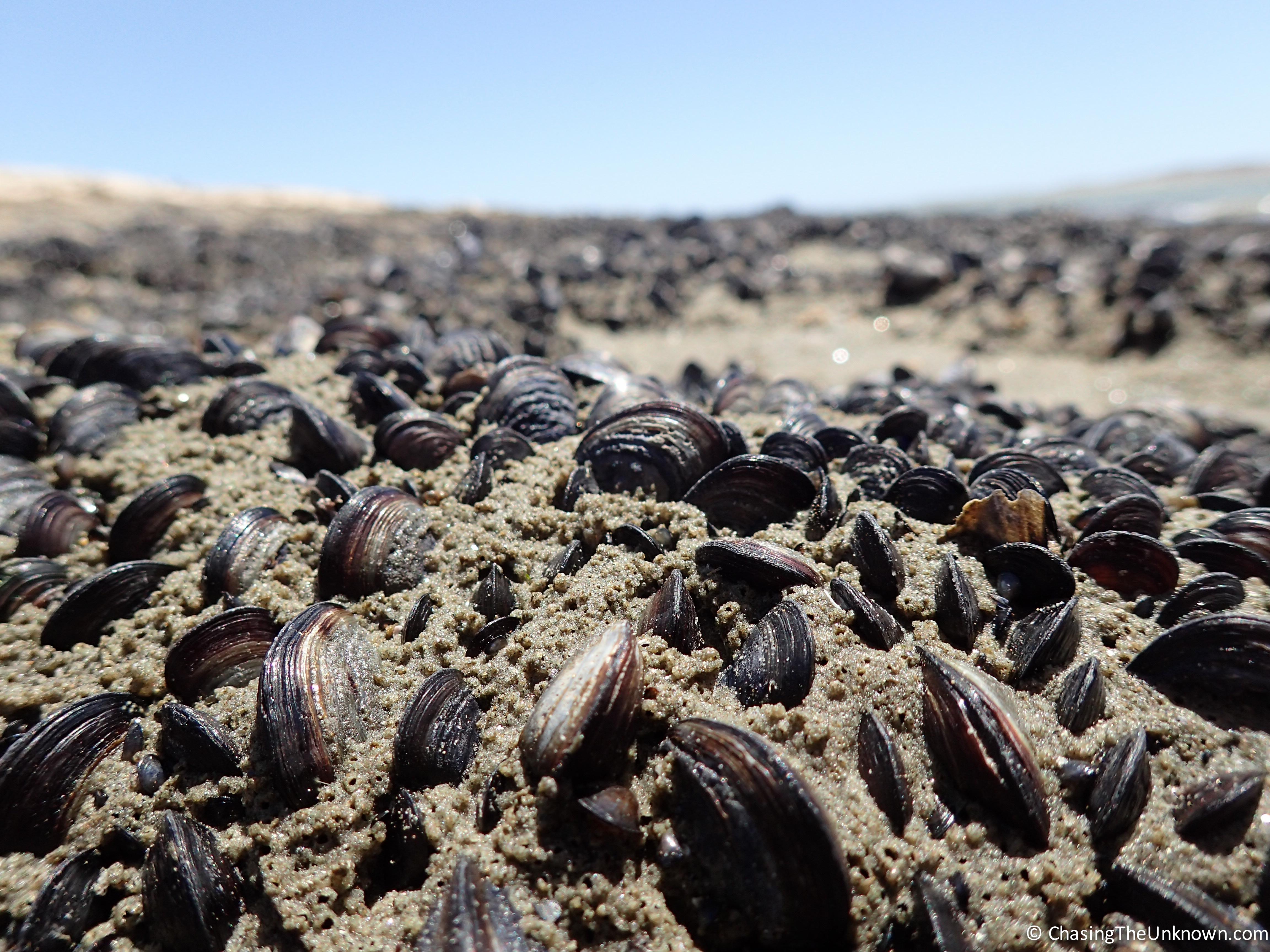 agate-beach-molluscs