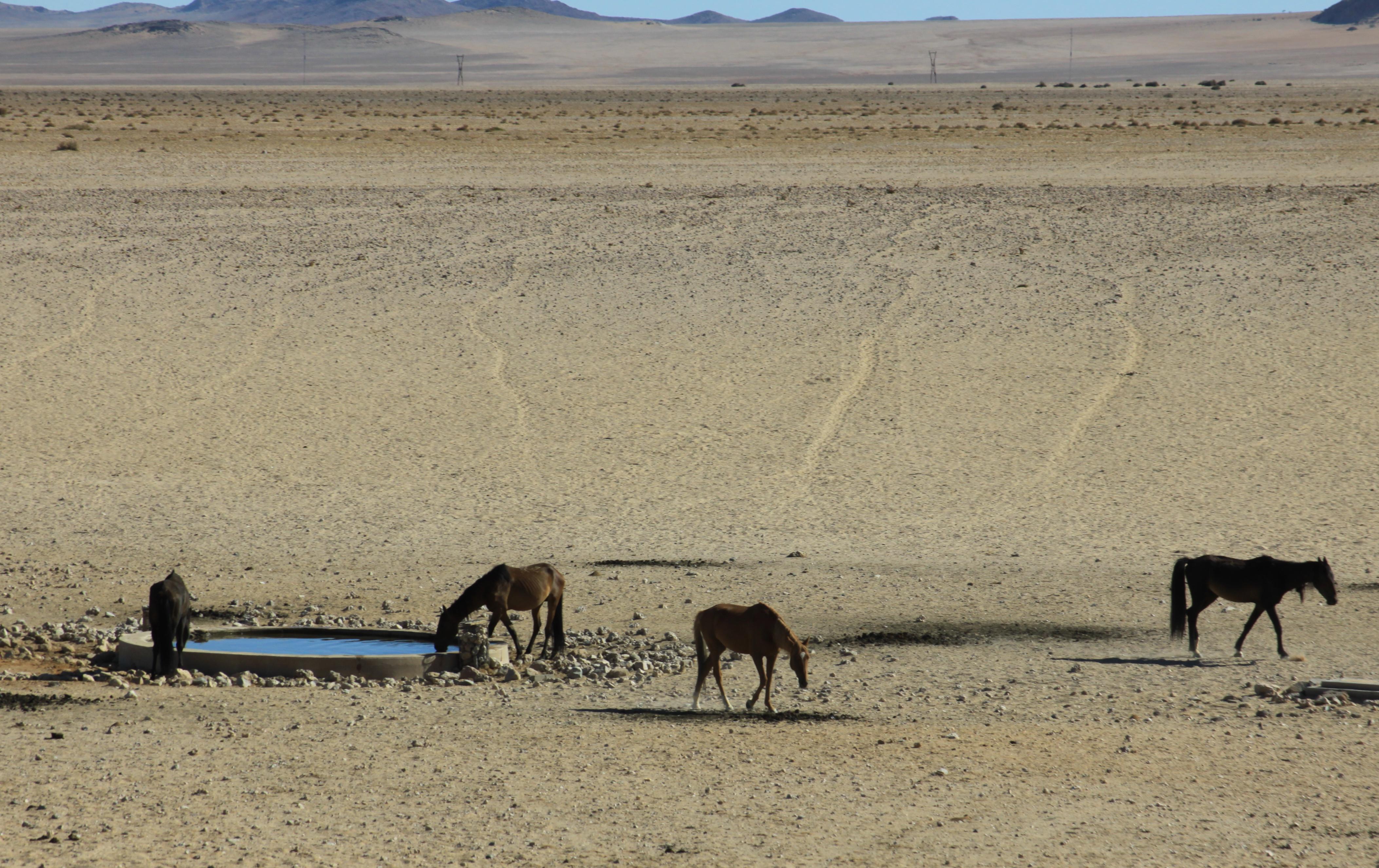 feral-horses