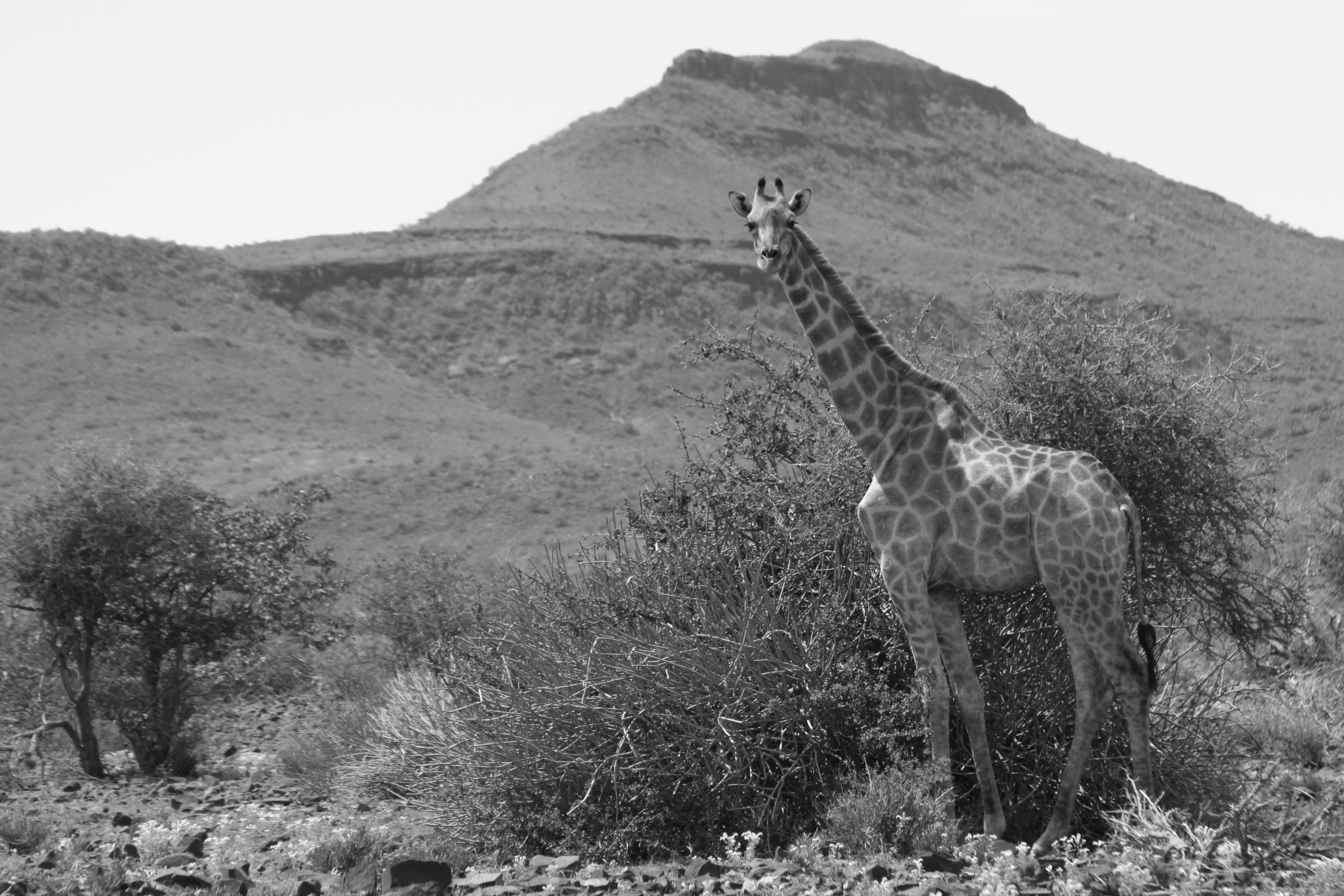 C40-palmwag-giraffe