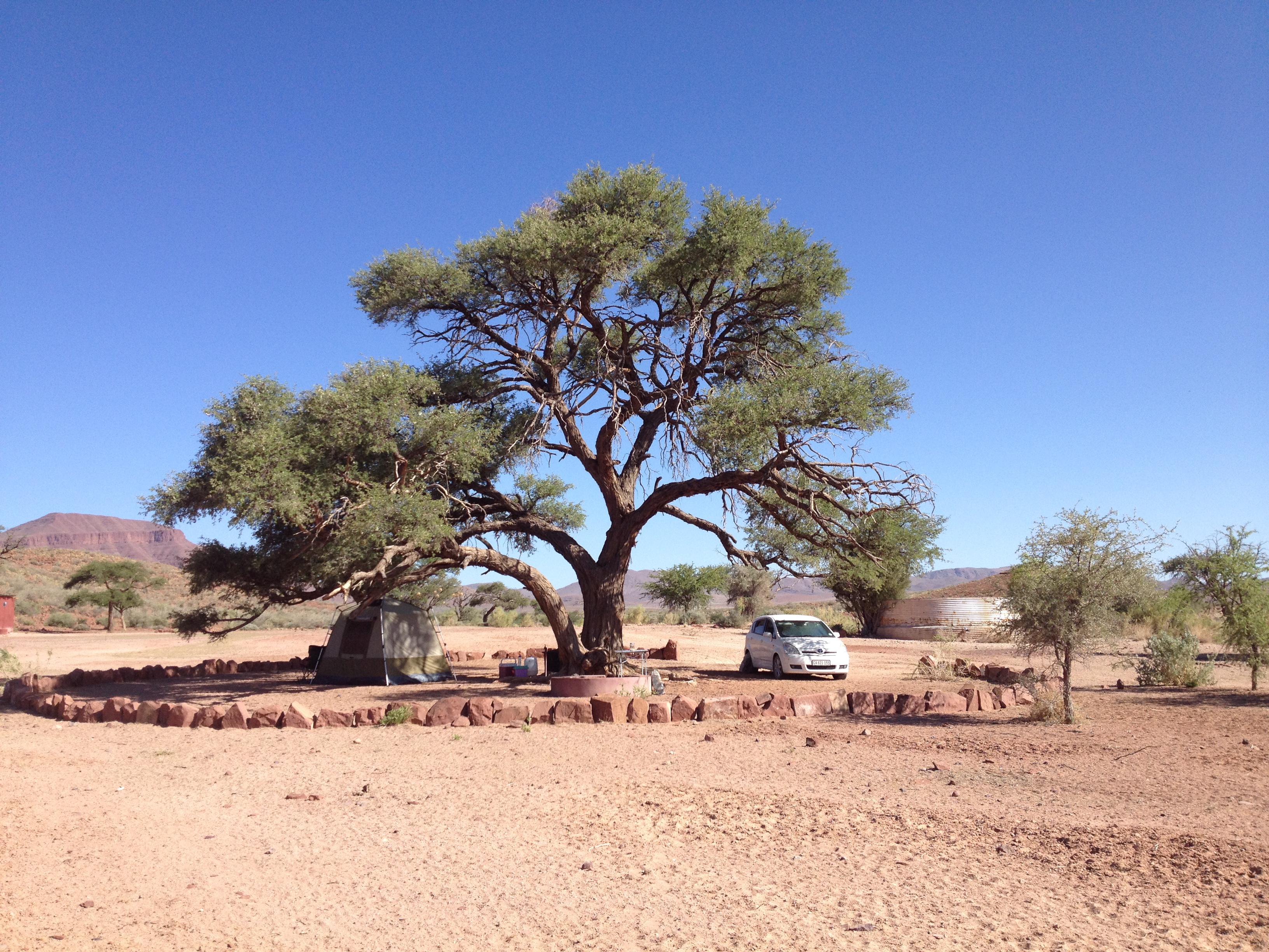 camel-thorn-acacia