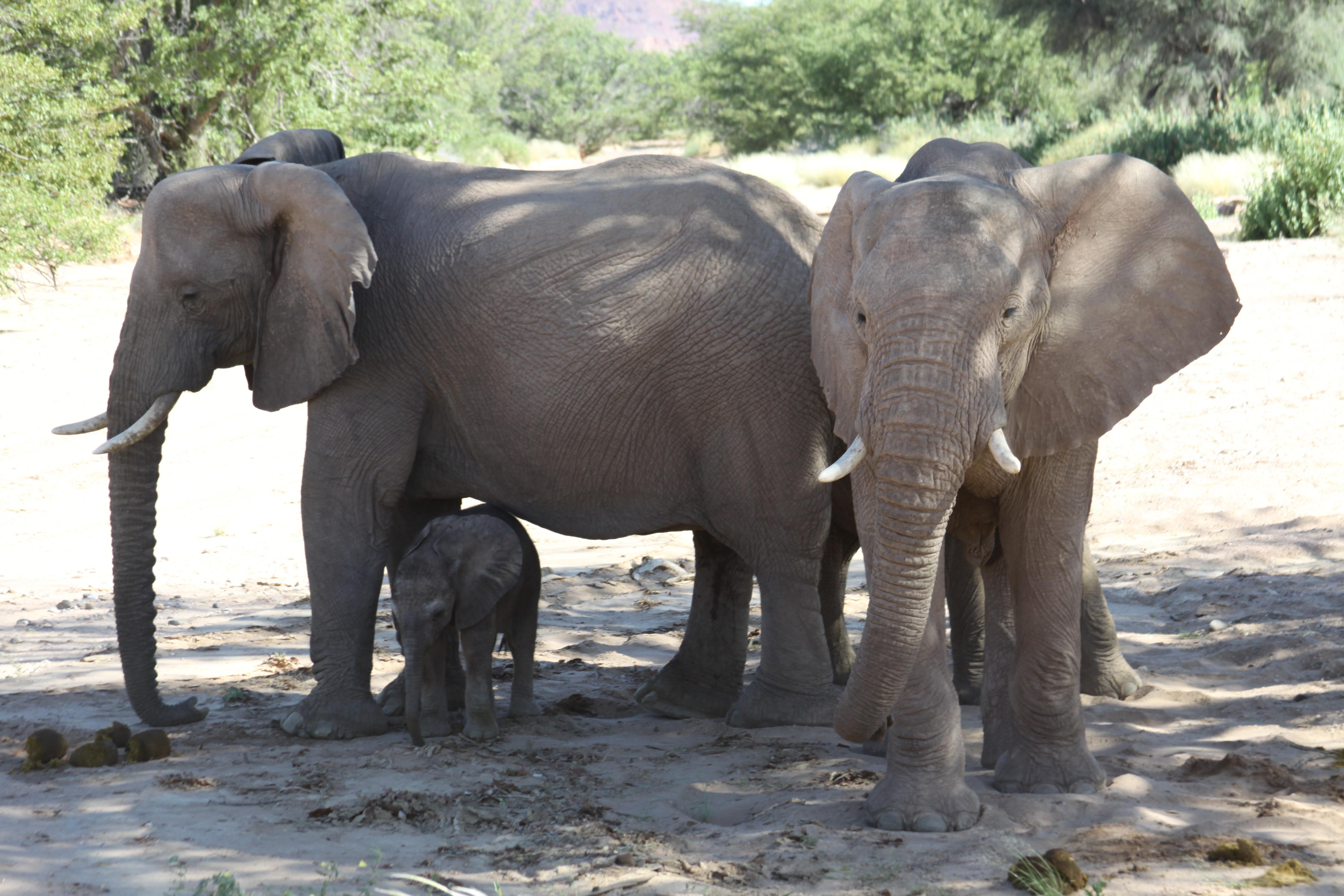 desert-adapated-elephants