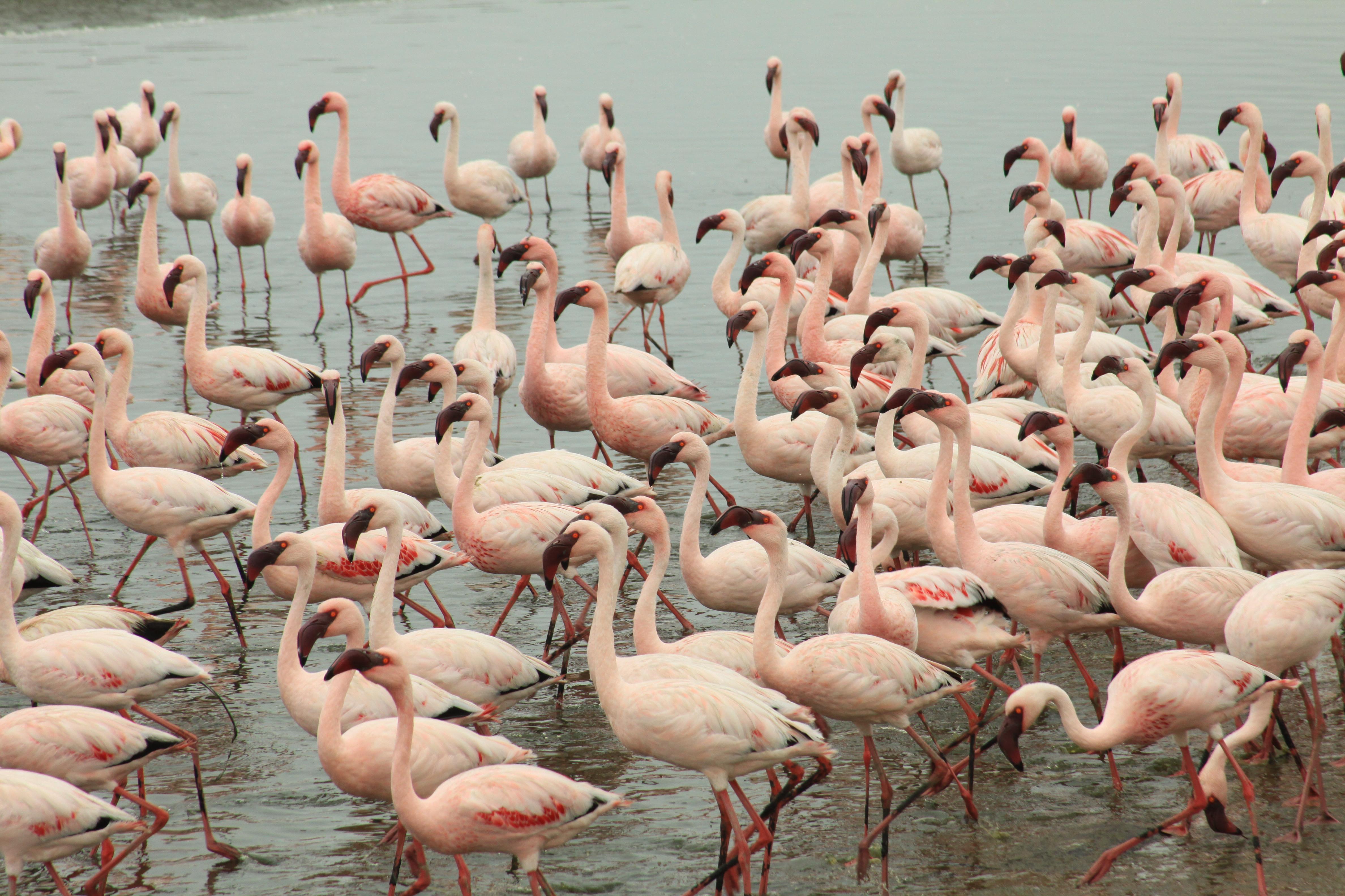 flamingos-walvis-bay