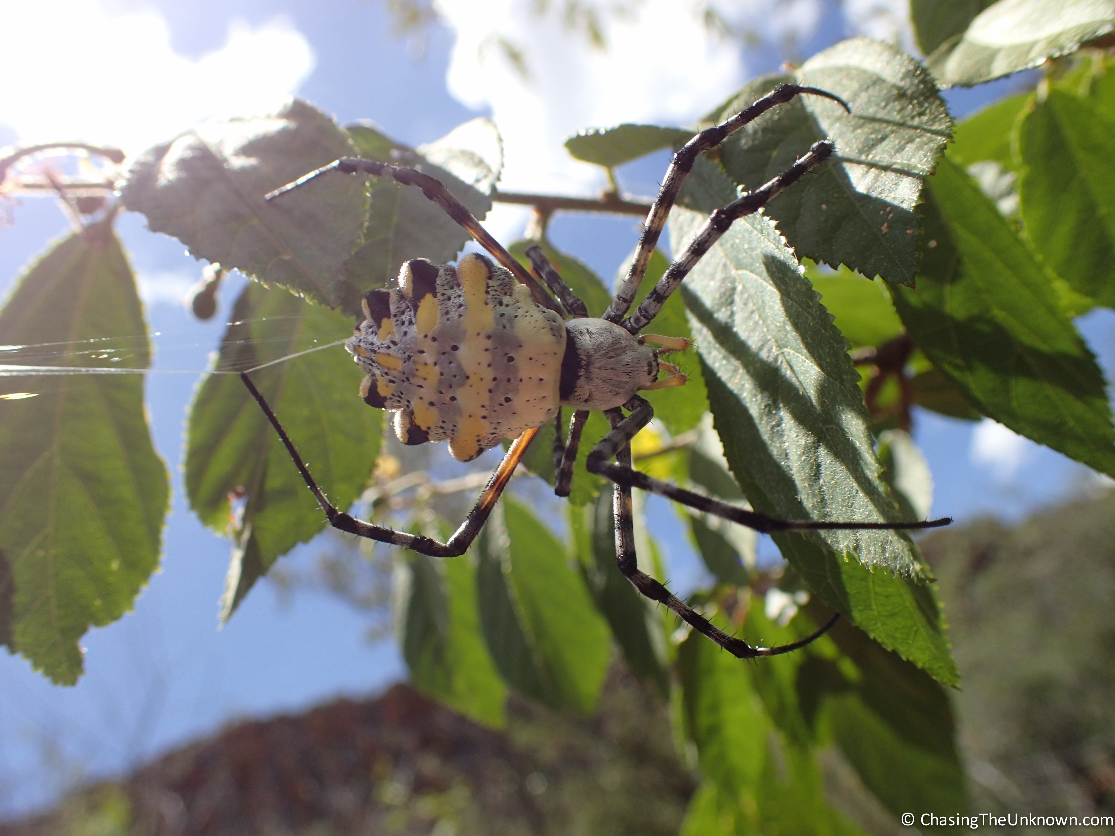 garden-orb-spider