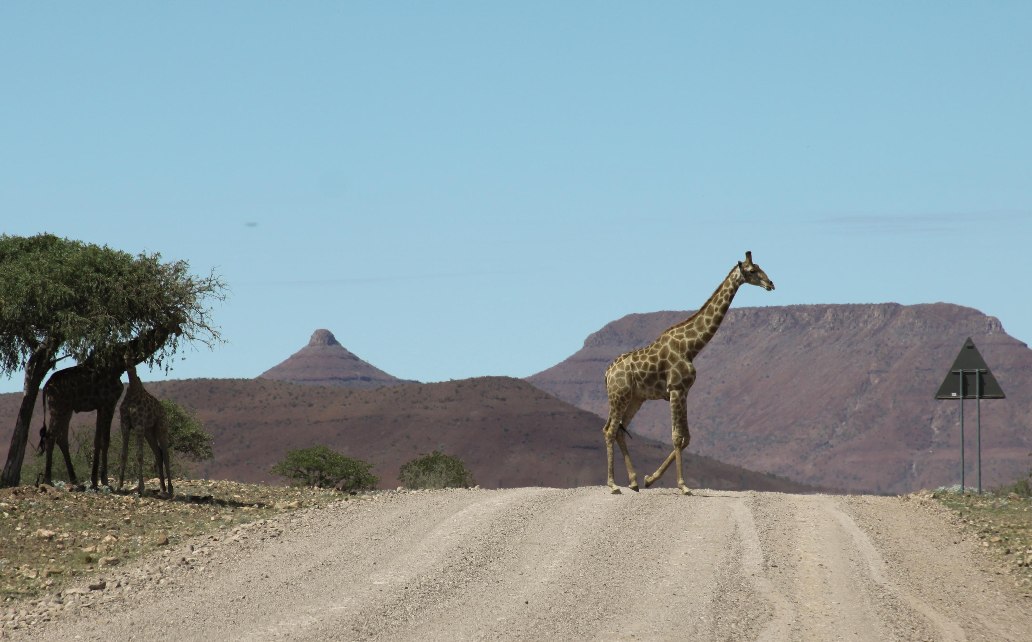 giraffe-road