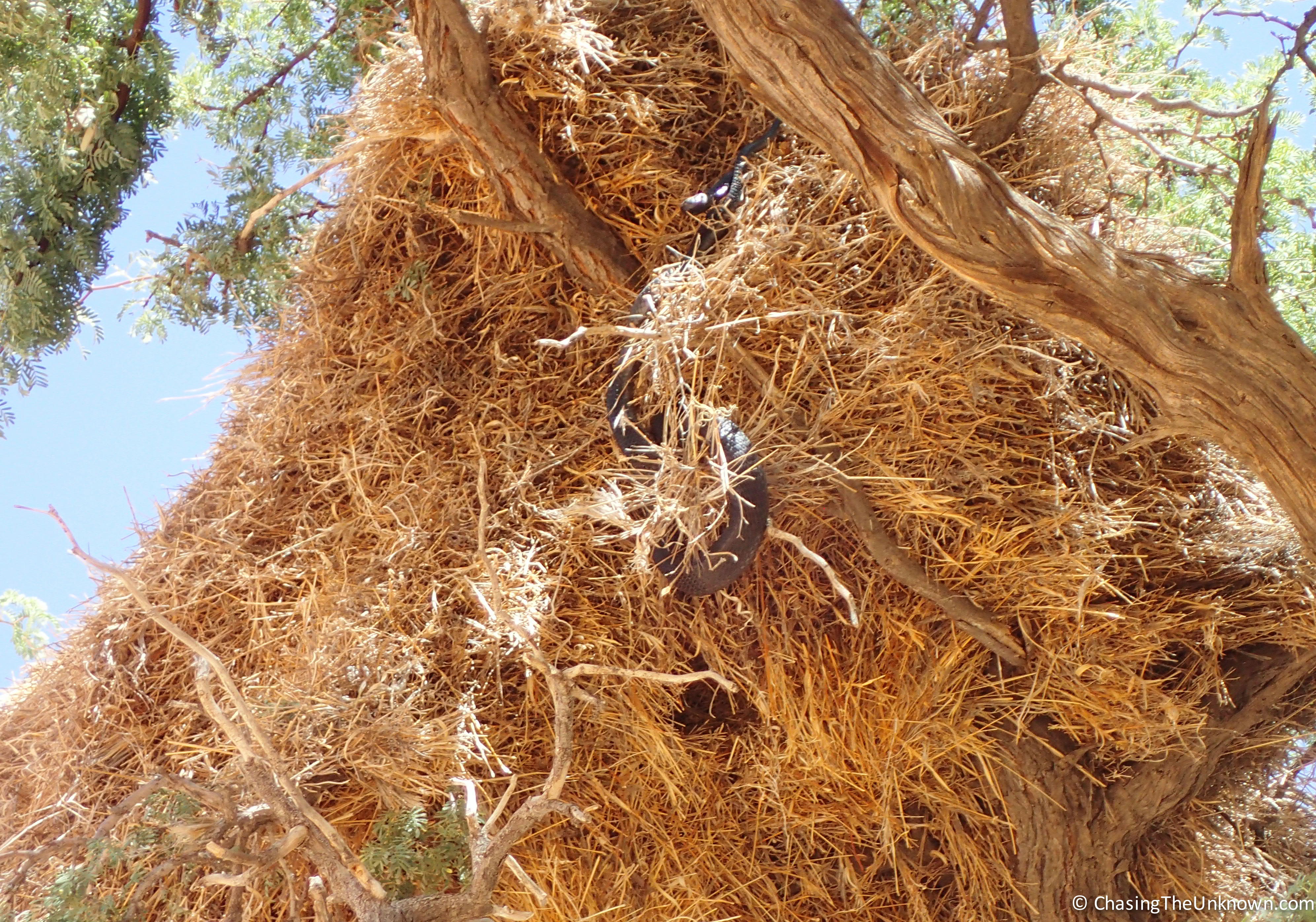 mole-snake-weaver-nest