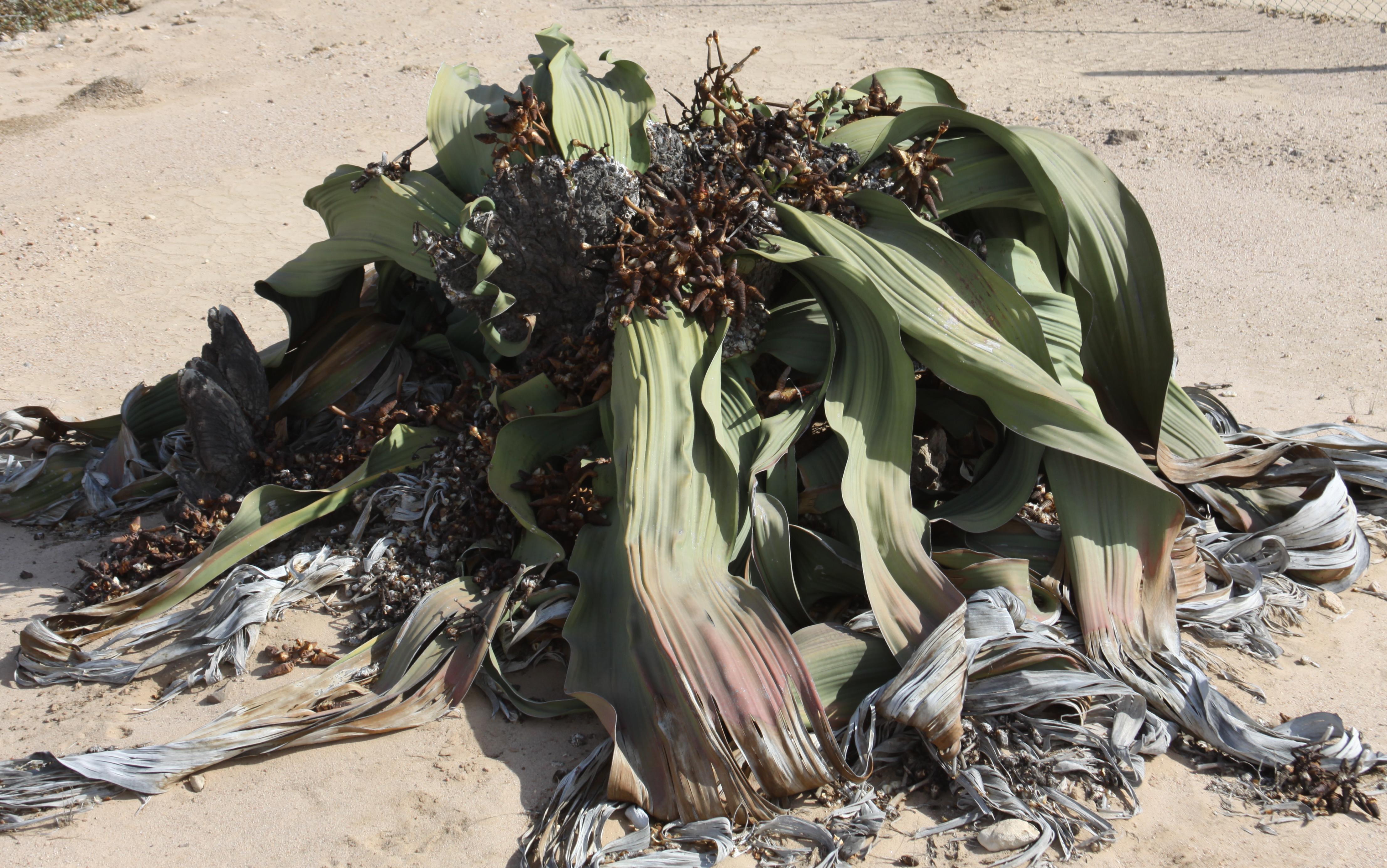 oldest-welwitschia