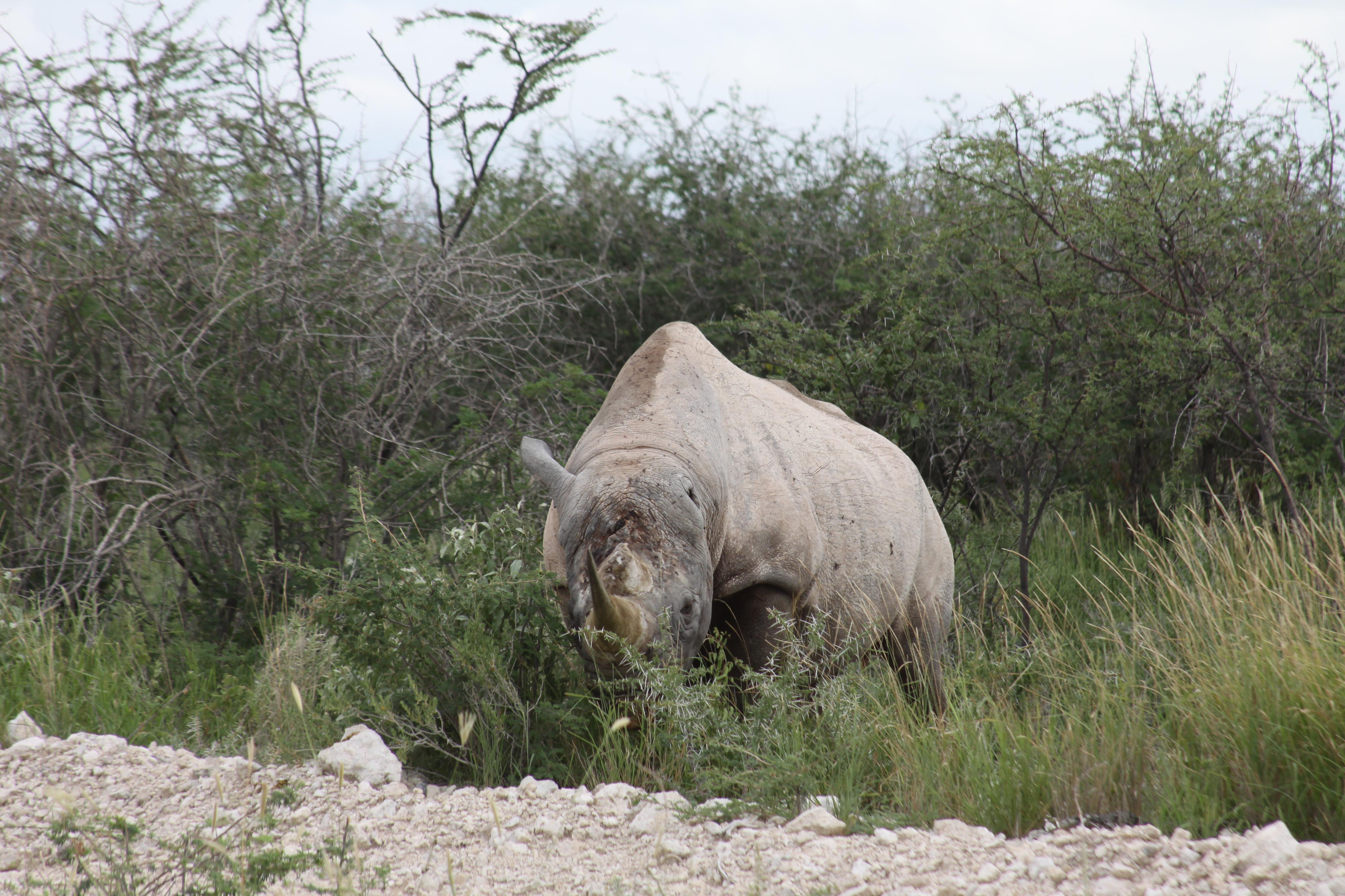 1-ear-rhino-etosha