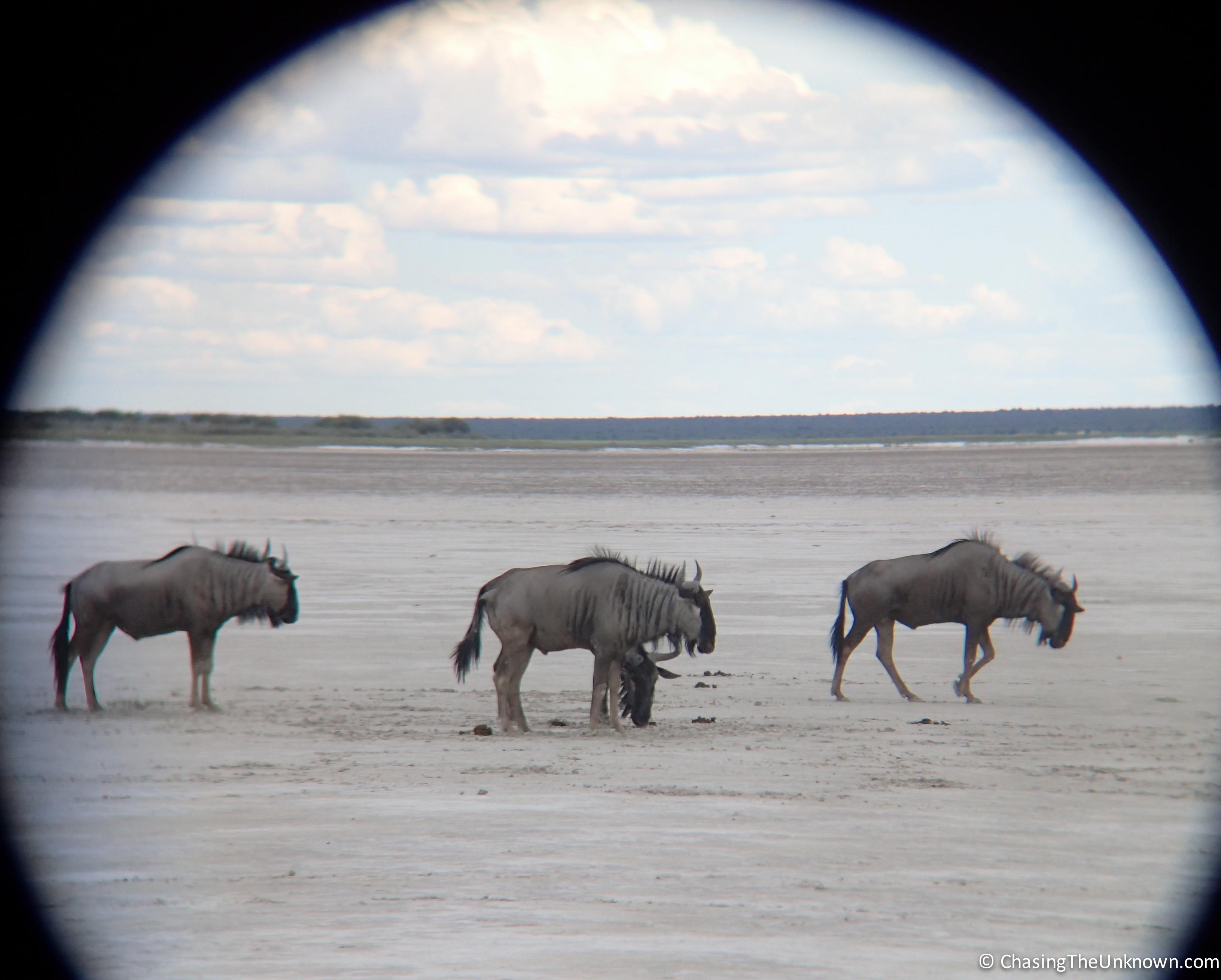 blue-wildebeest-etosha