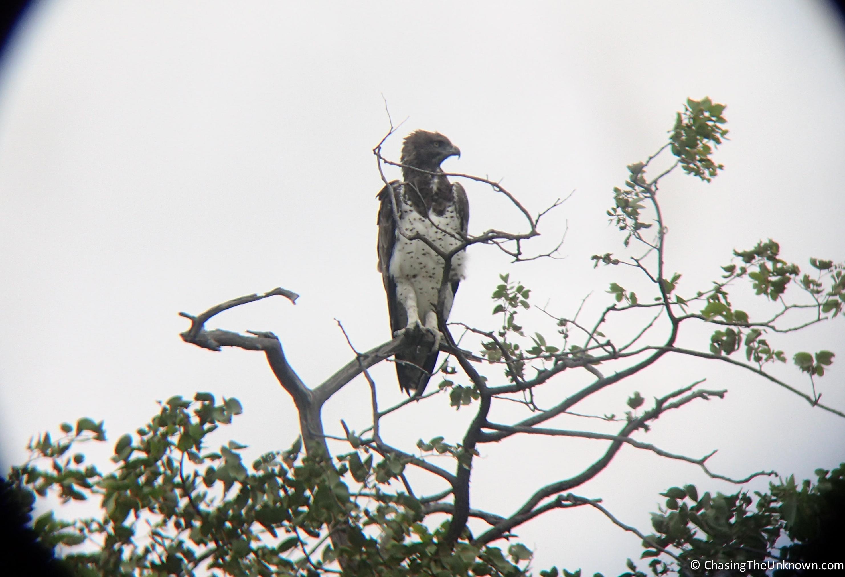 martial-eagle-etosha