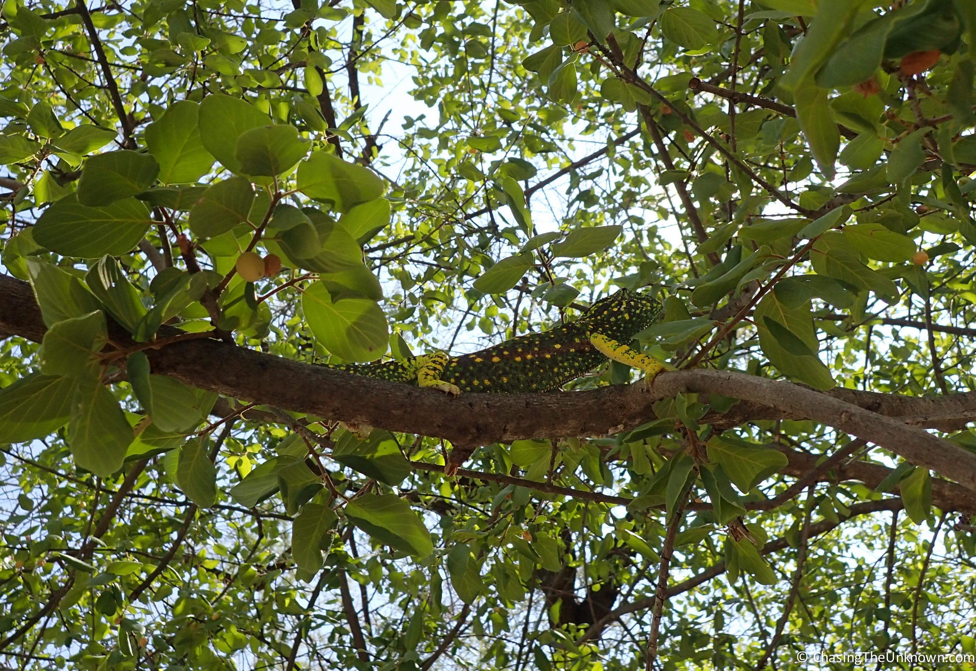 chameleon-Etosha