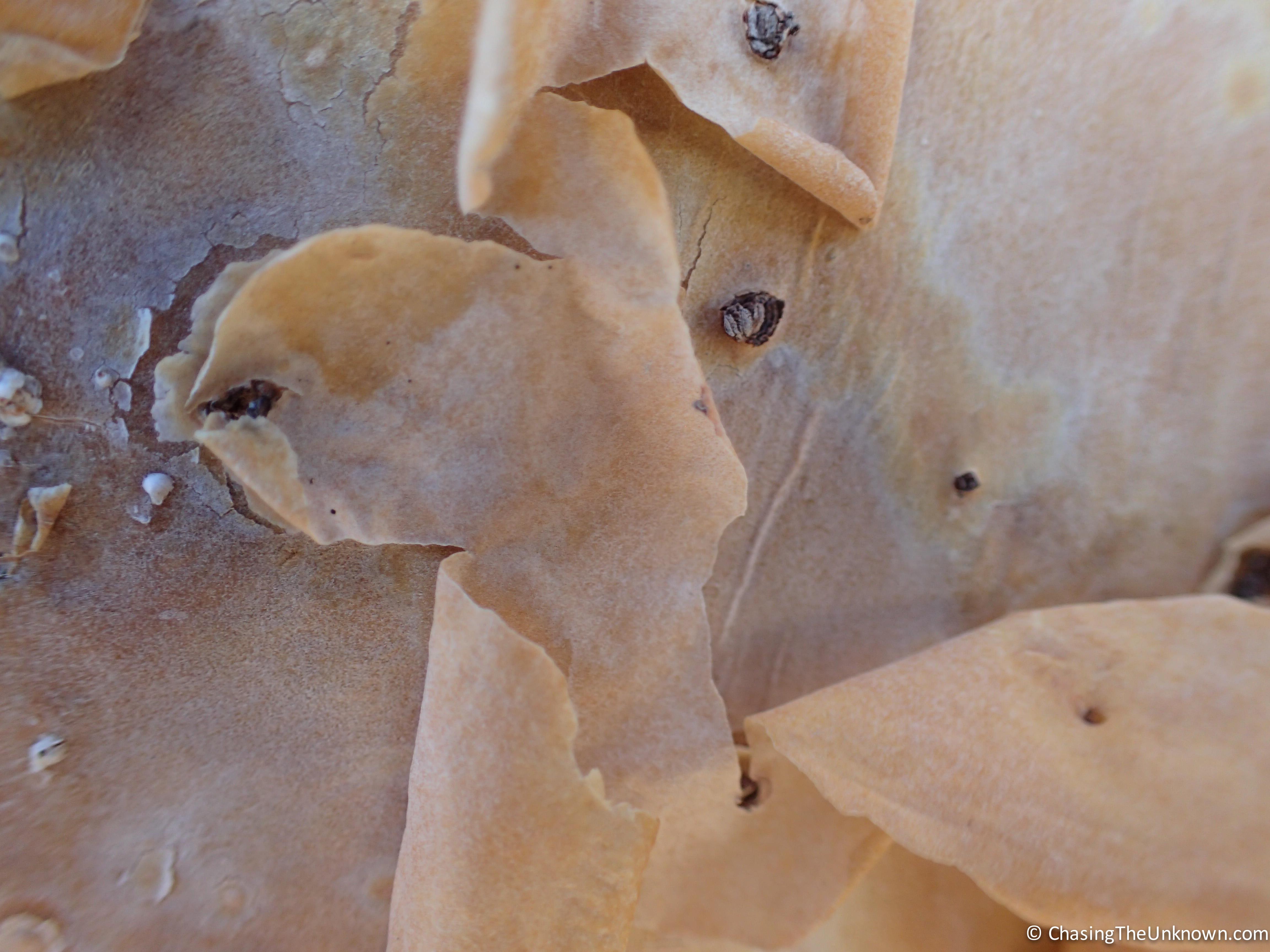 cyphostemma-bark