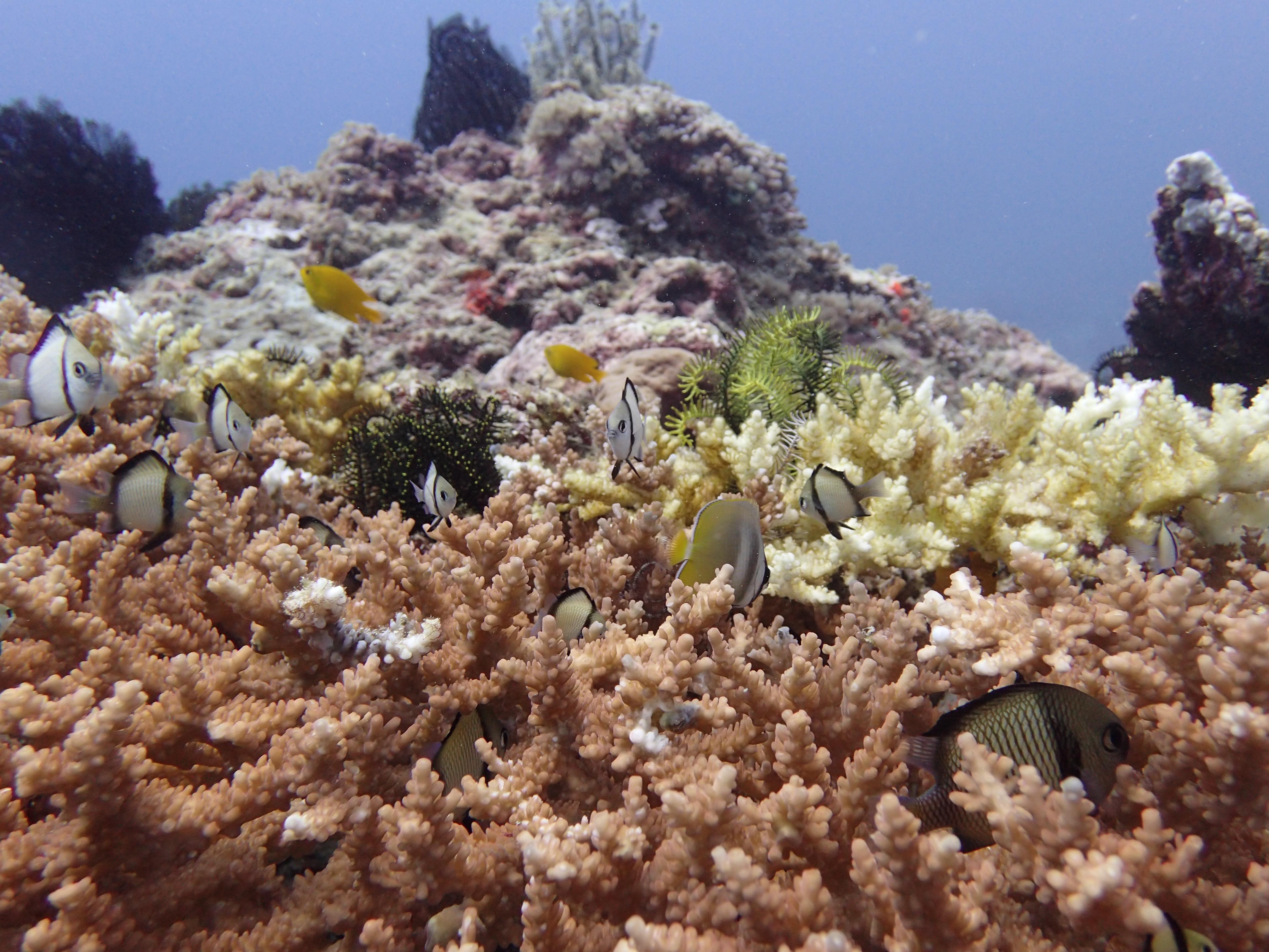 gili-t-healthy-coral
